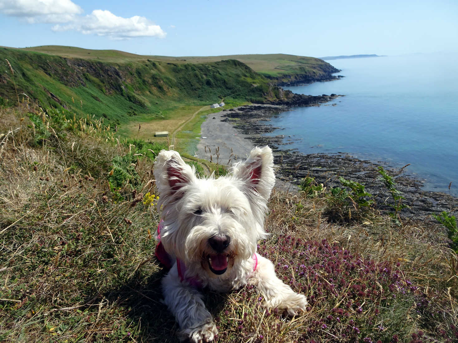 poppy the westie after picnic at Morroch Bay