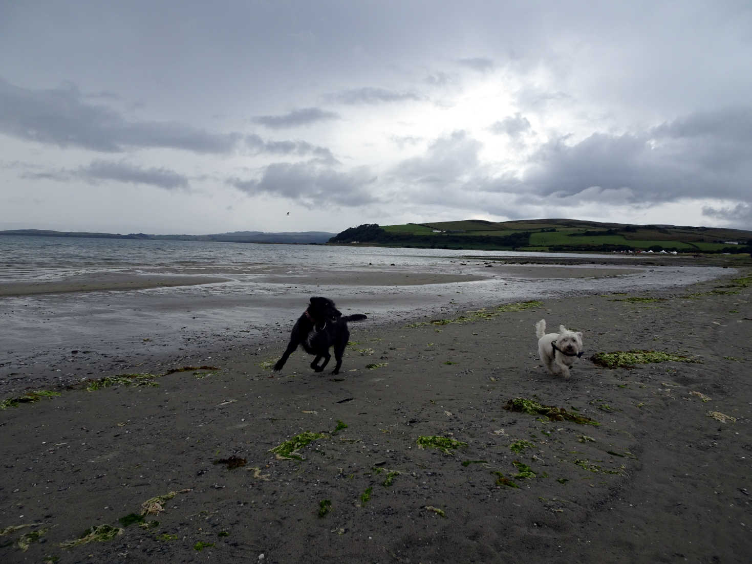 poppy the westie and camp mate at ettrick bay