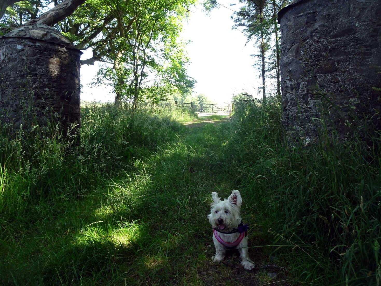 poppy the westie at old gates to dunskey estate portpatrick