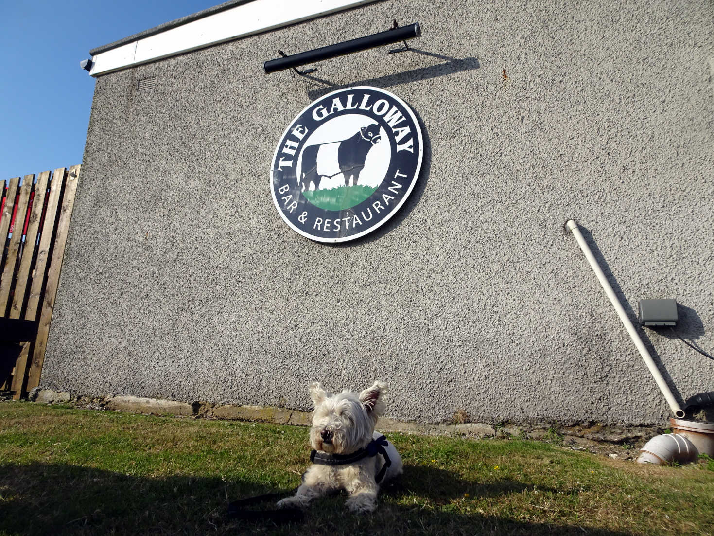 poppy the westie at the Galloway Portpatrick
