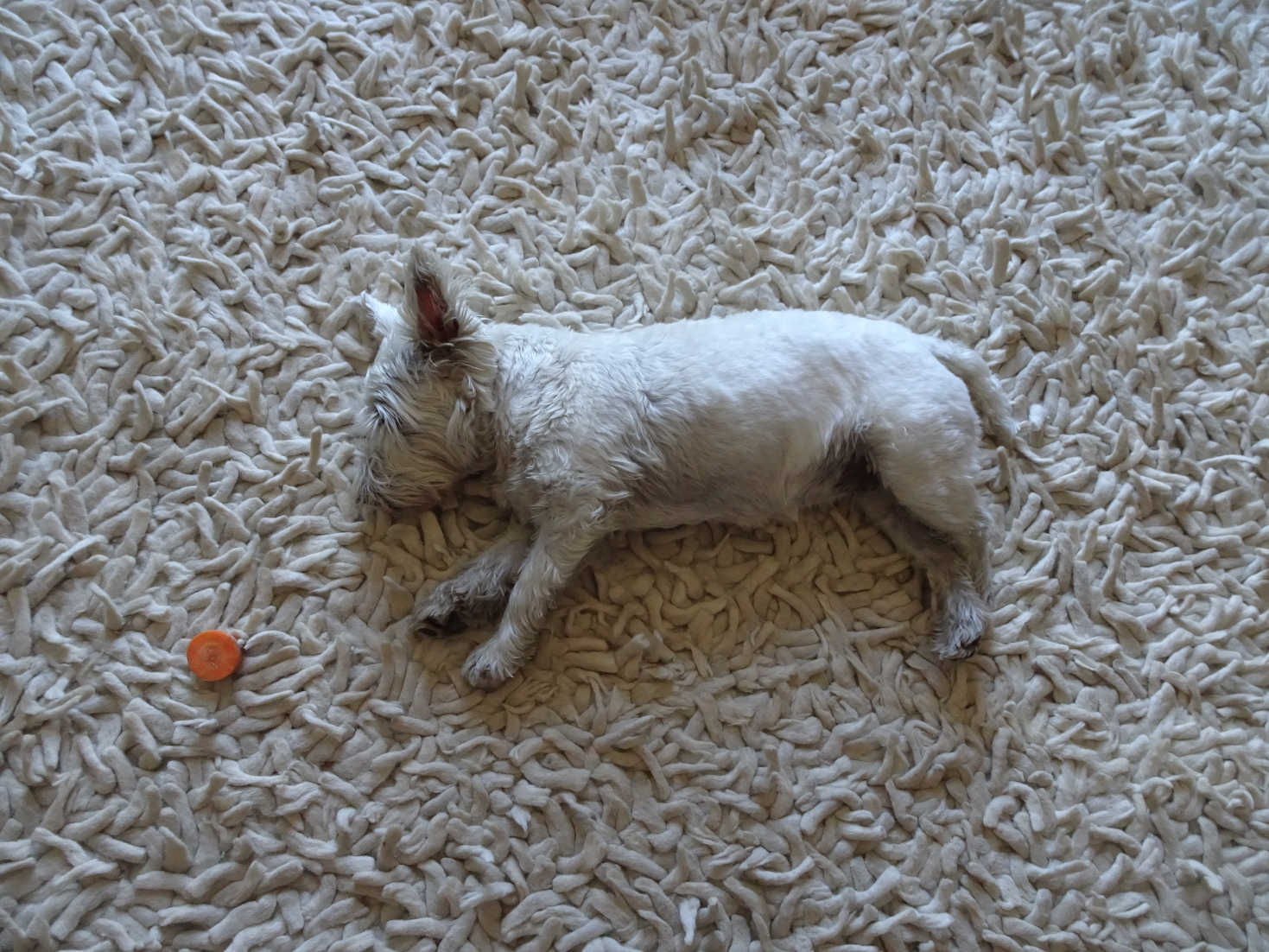 poppy the westie cooling off at home