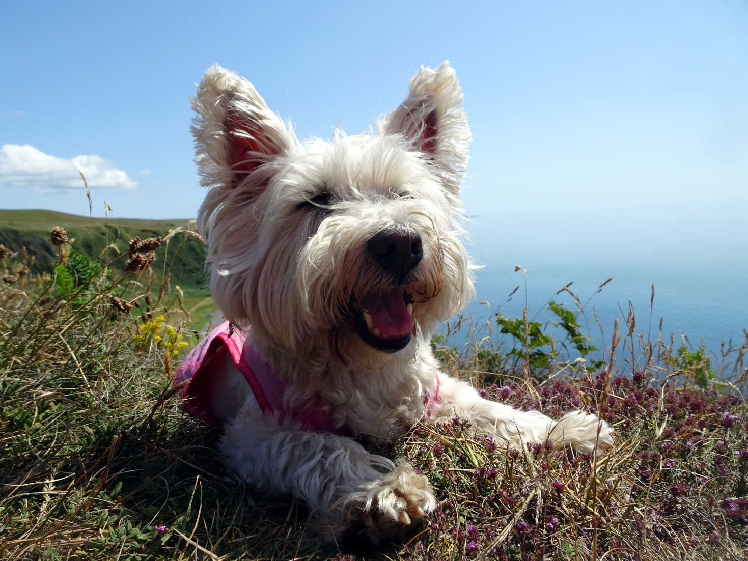poppy the westie has a rest at morroch bay