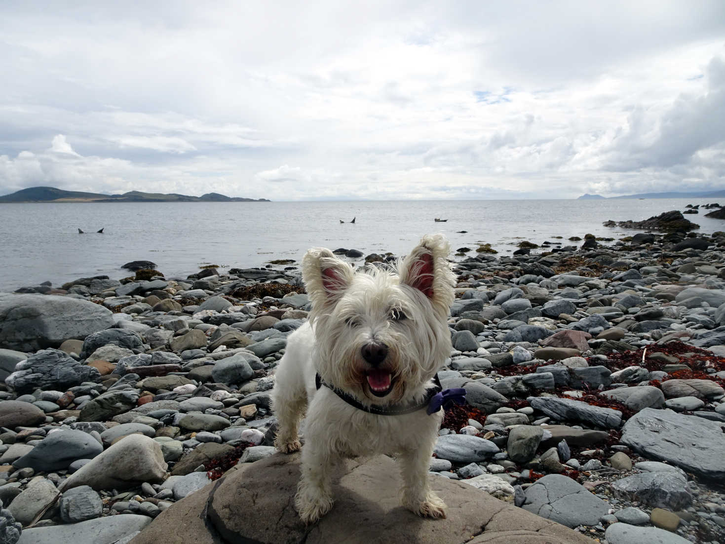poppy the westie has not seen the seal monsters