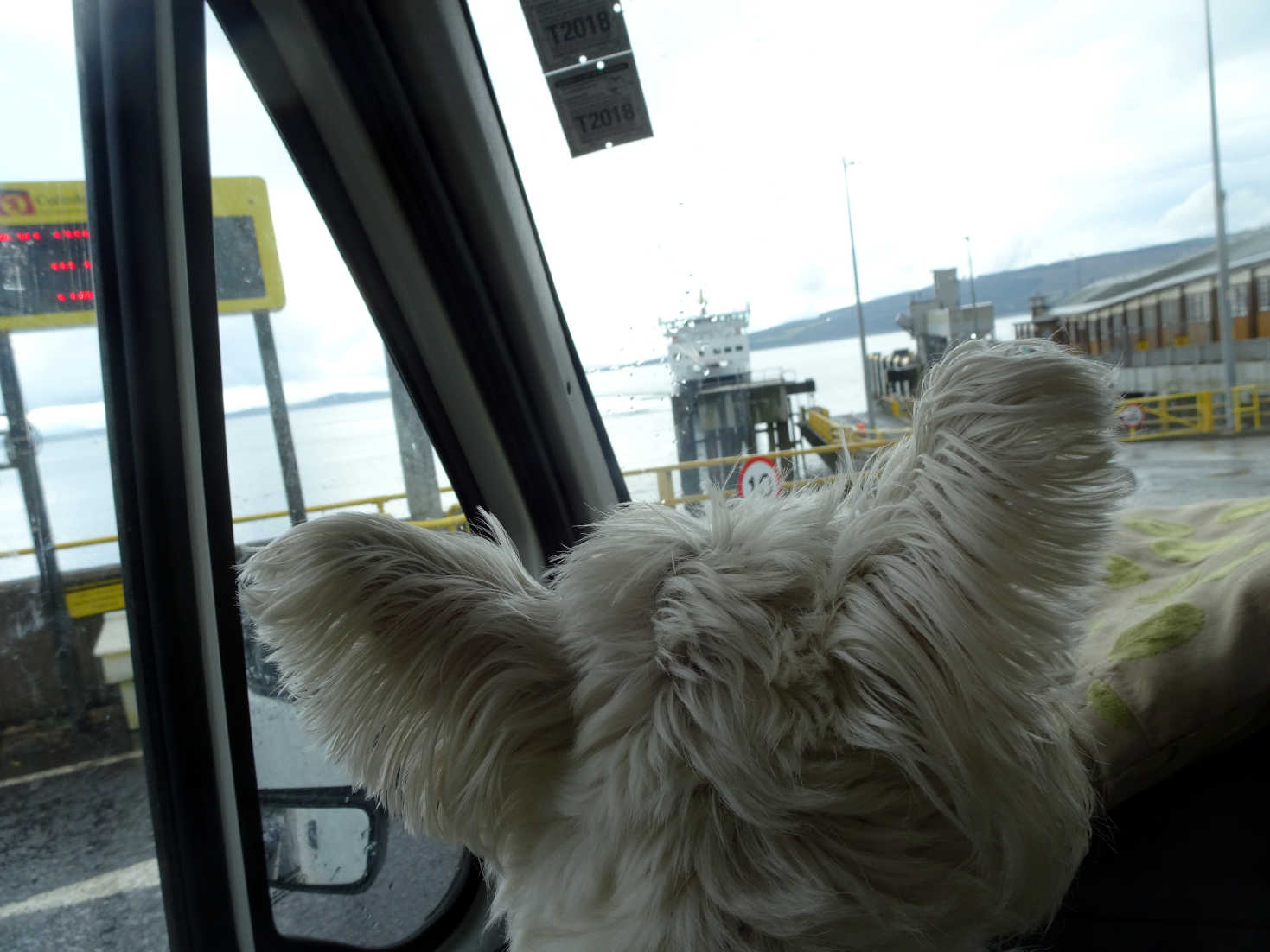 poppy the westie in betsy at bute ferry