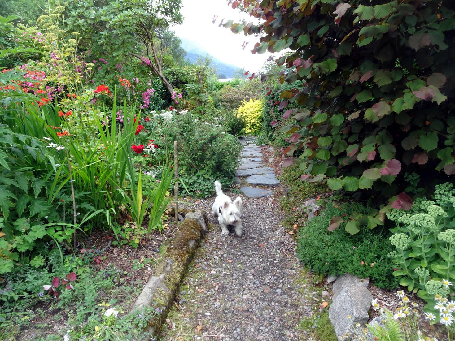 poppy the westie in secret garden glen coe