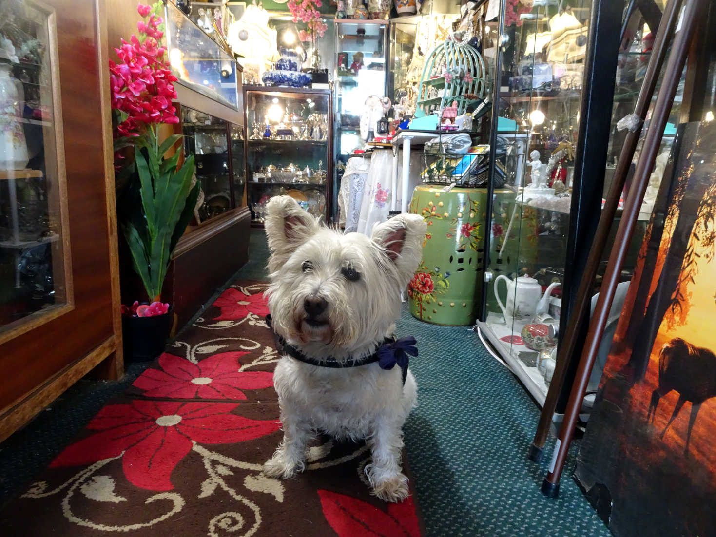 poppy the westie in the victorian shop rothsay