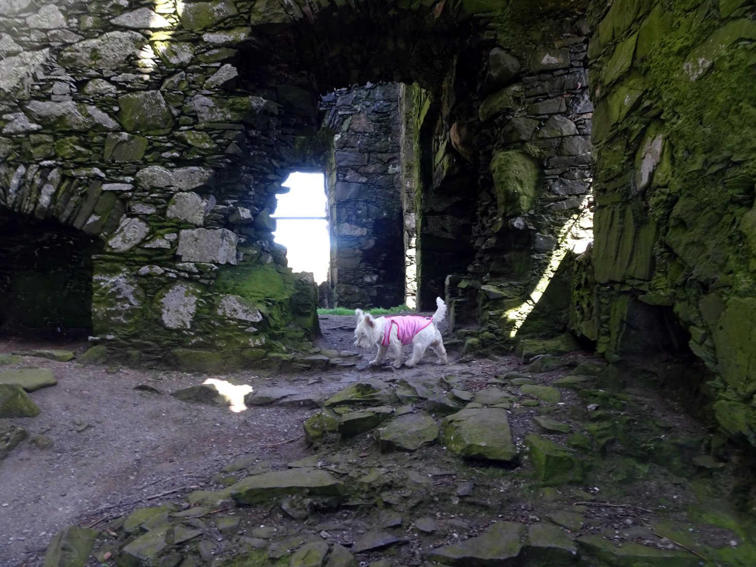 poppy the westie inside dunskey castle portpatrick