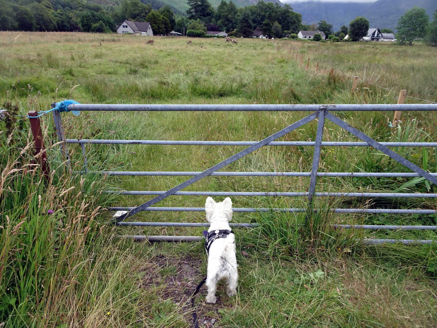 poppy the westie keeps an eye on the dear at glen coe