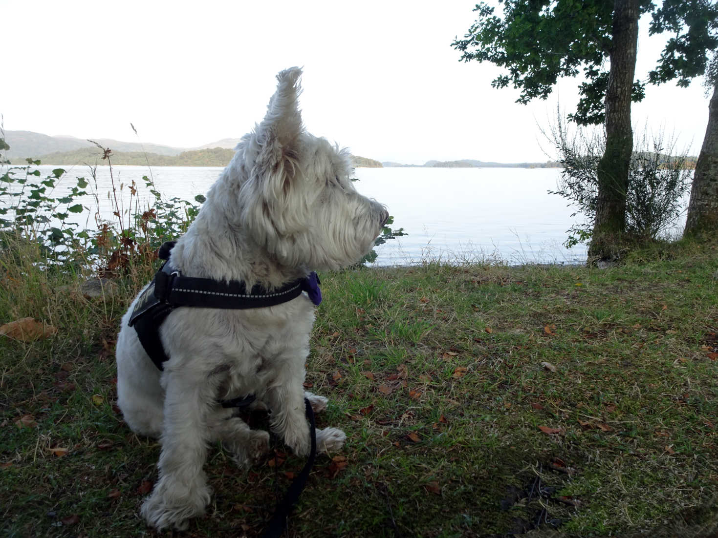poppy the westie listning to music at luss campsite
