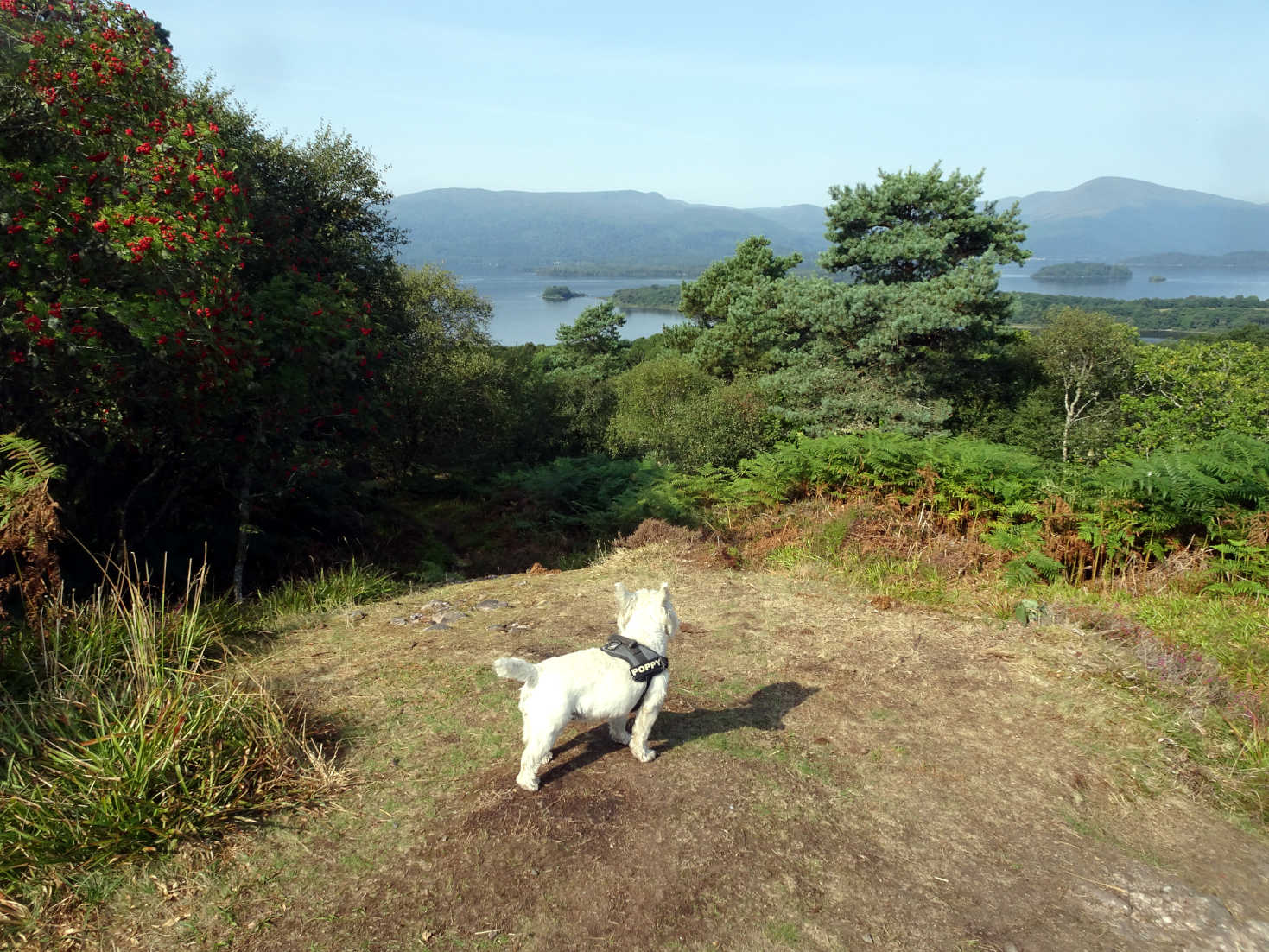 poppy the westie looking north from Inchcailloch