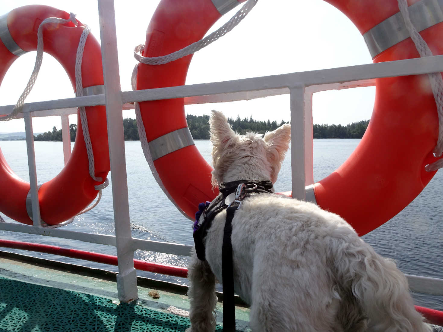 poppy the westie on boat going to luss