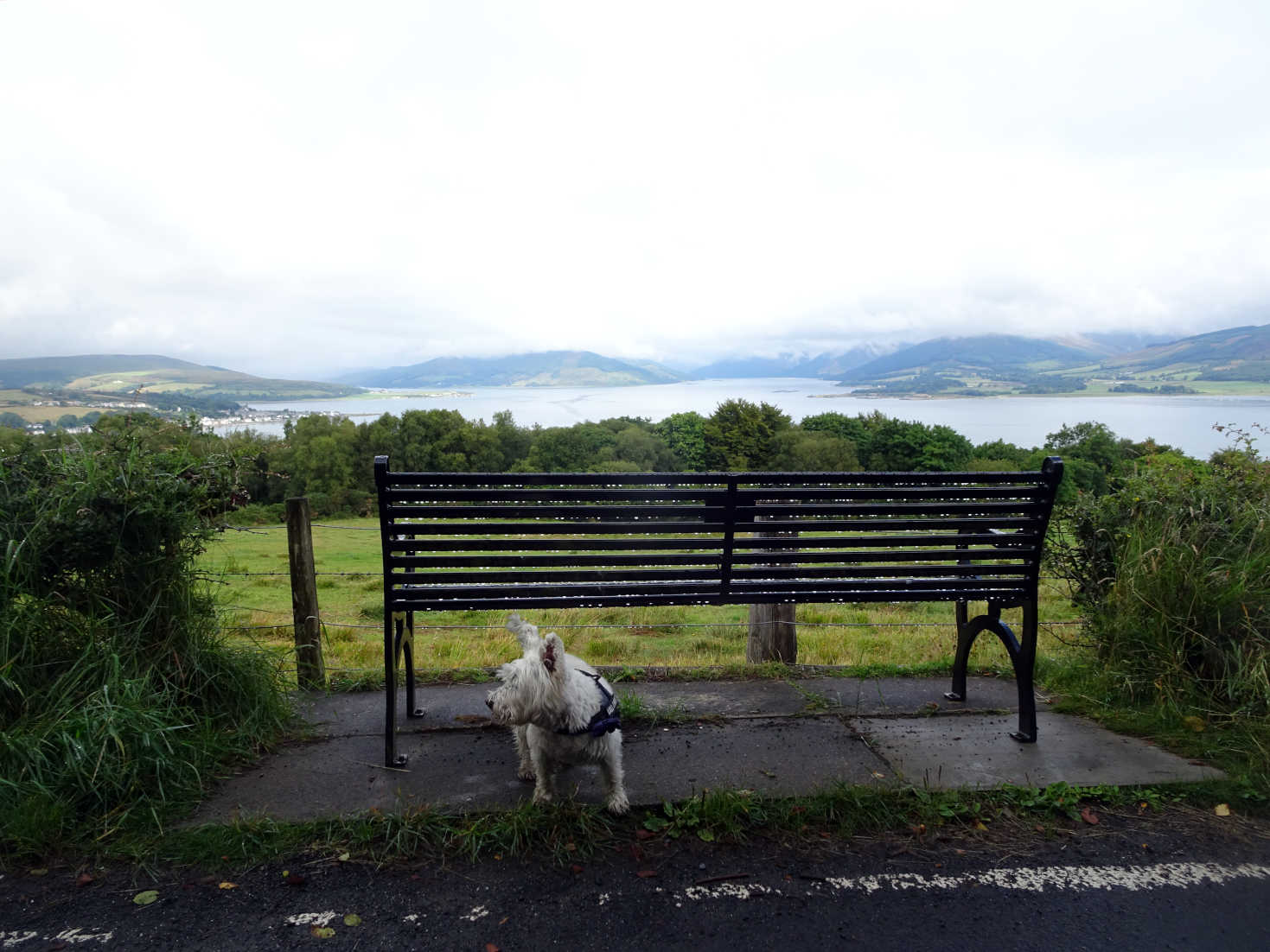 poppy the westie on canada hill with loch striven