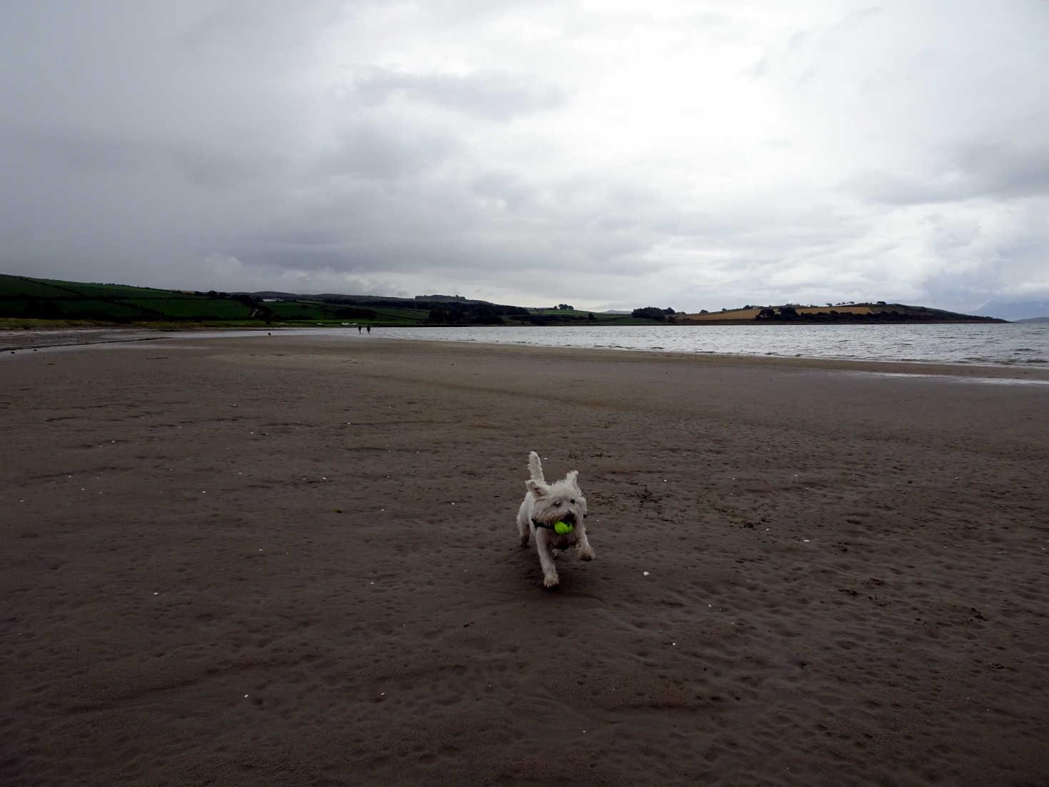 poppy the westie on damp ettrick bay sands