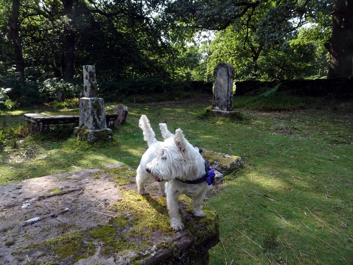 poppy the westie on gregor macgregors grave