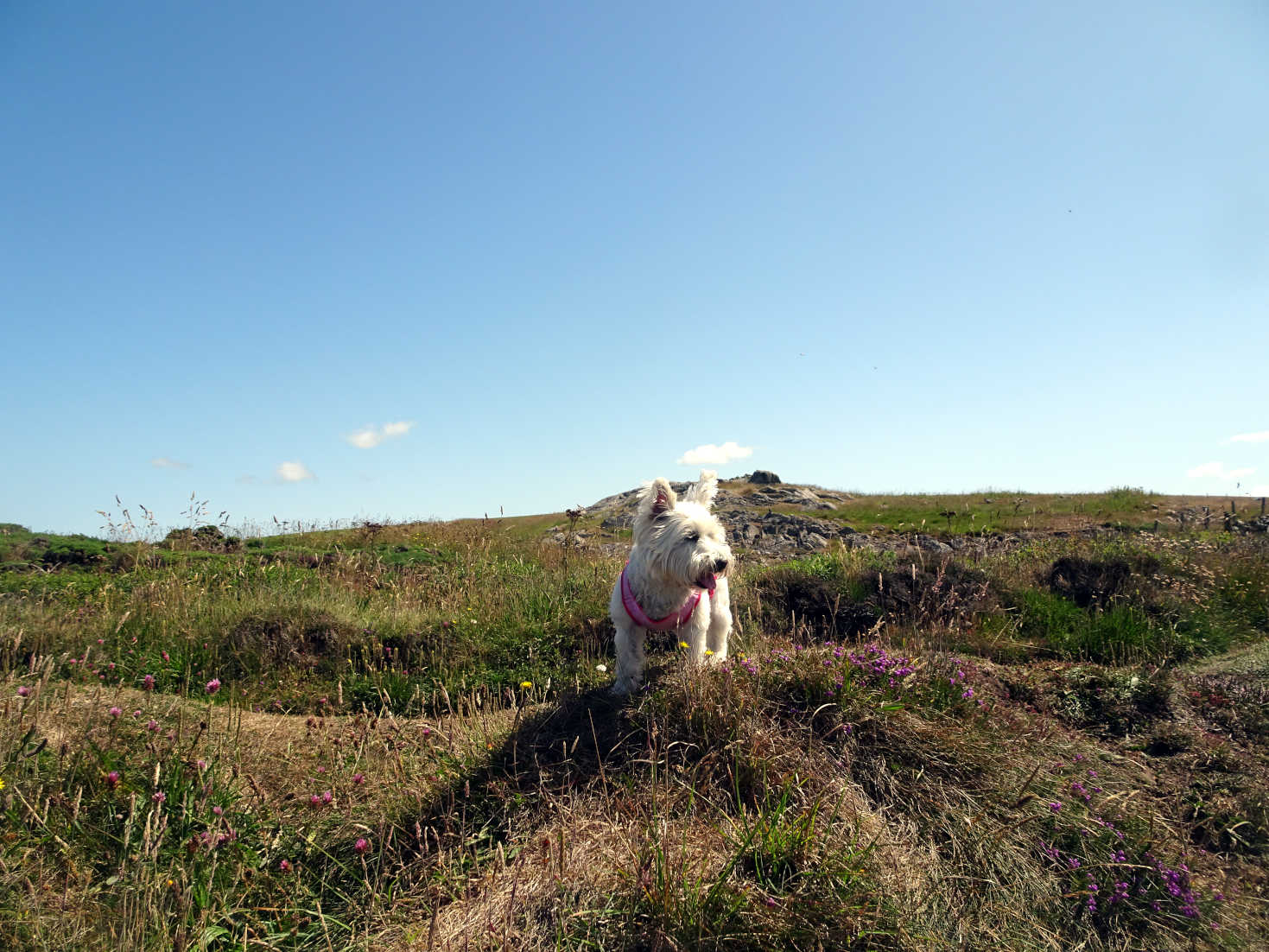 poppy the westie on hill over portpatrick