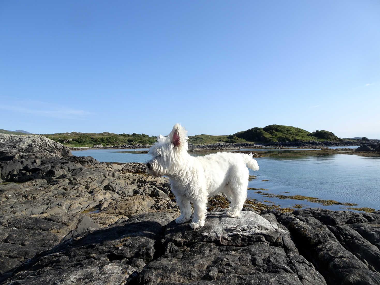 poppy the westie on island at silversands
