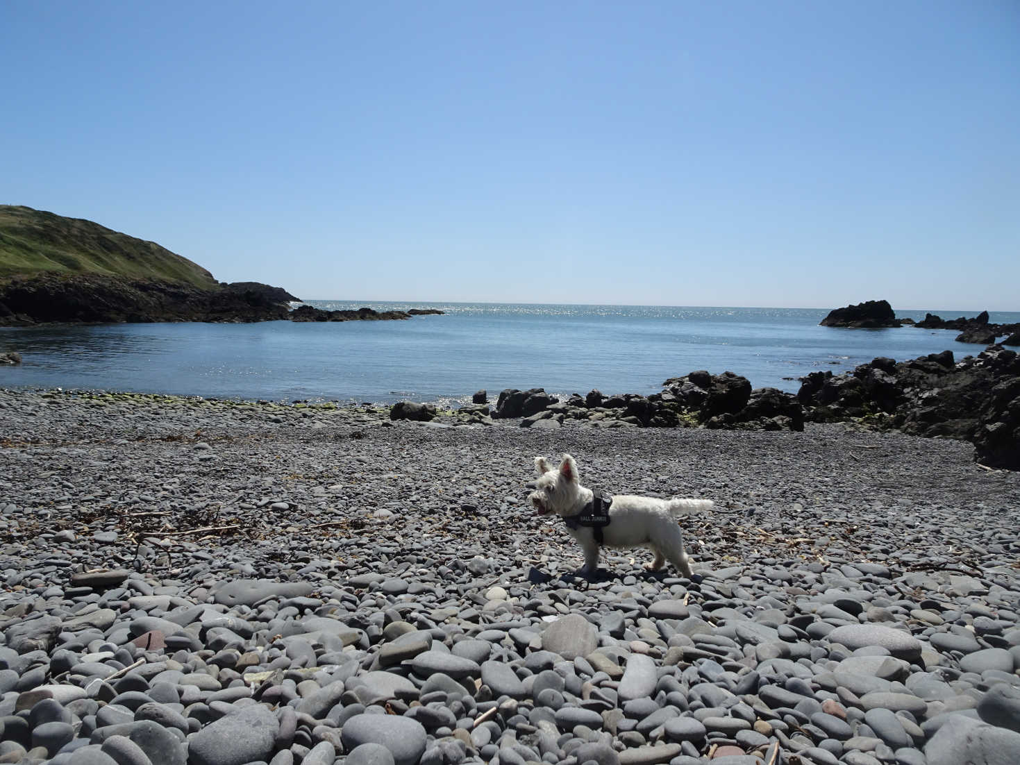 poppy the westie on look out portpatrick