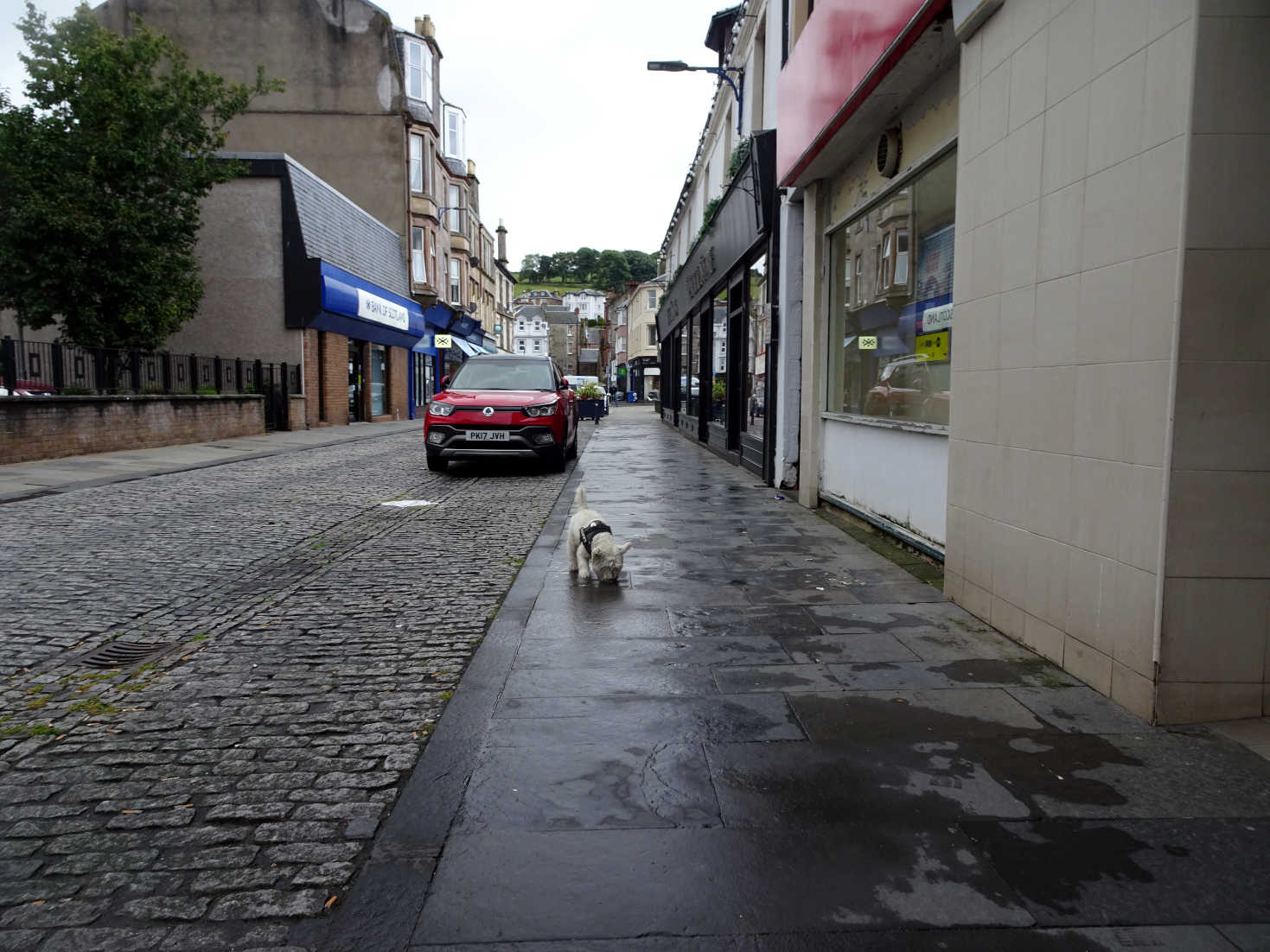 poppy the westie on montague street rothsay