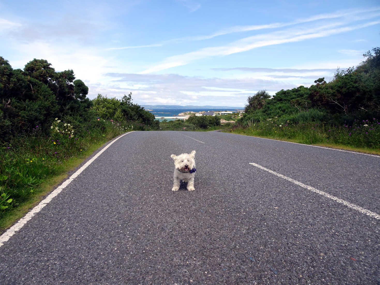 poppy the westie on road to silversands