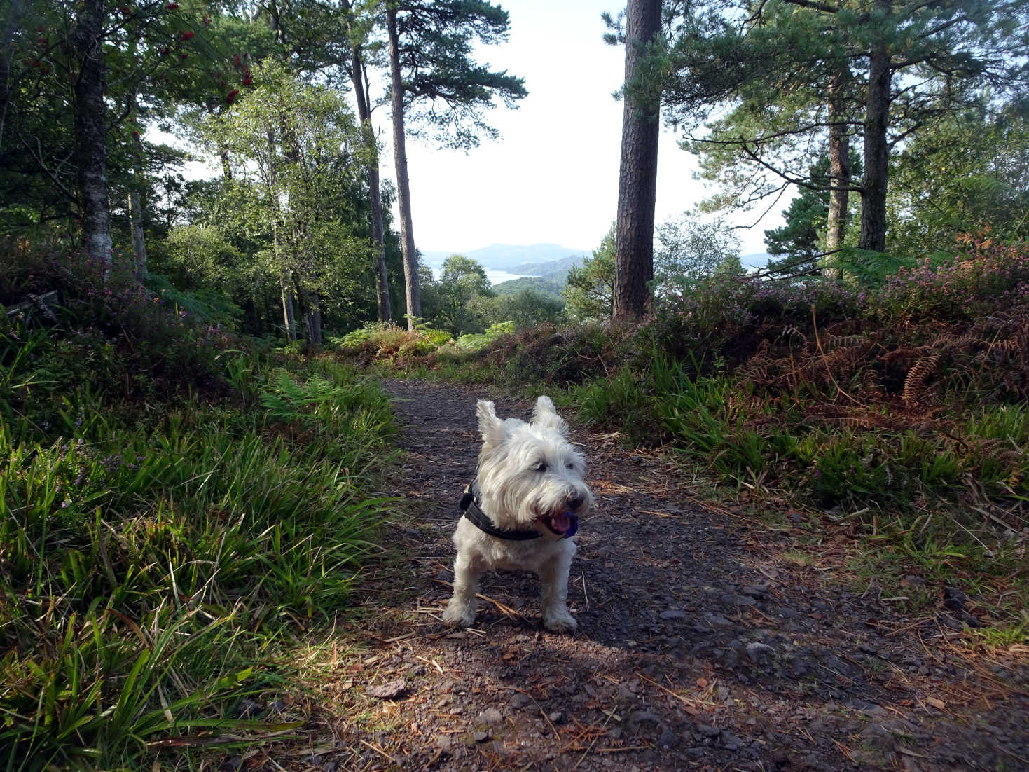 poppy the westie on summit path Inchcailloch