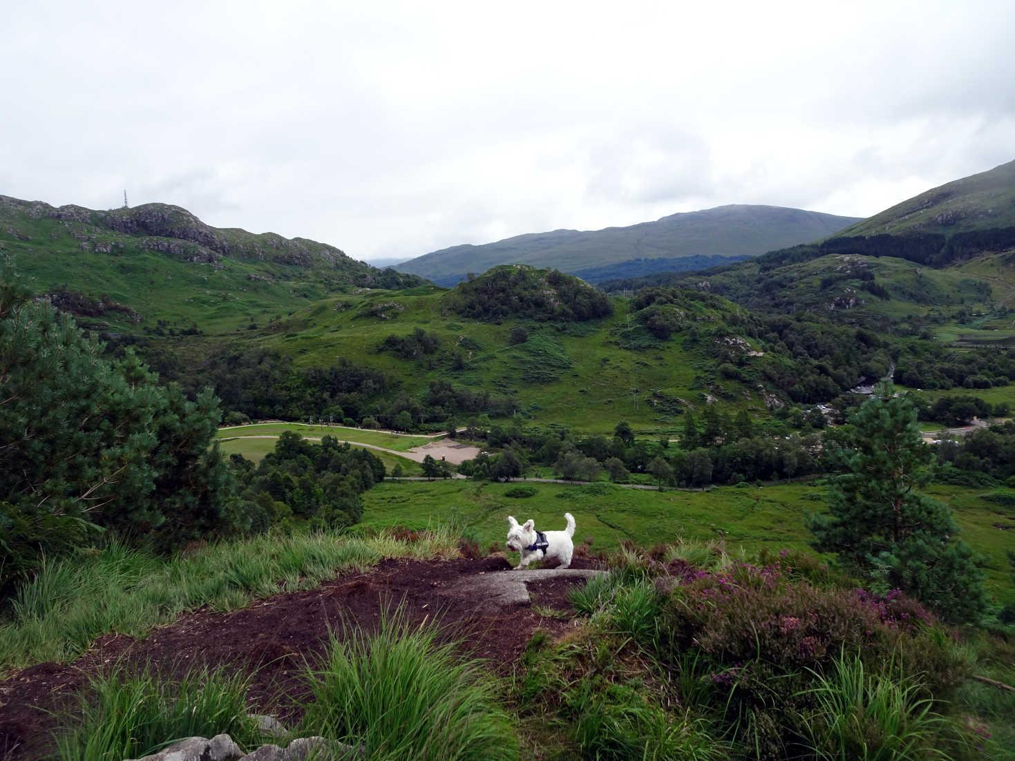 poppy the westie on the hills in glenfinnan