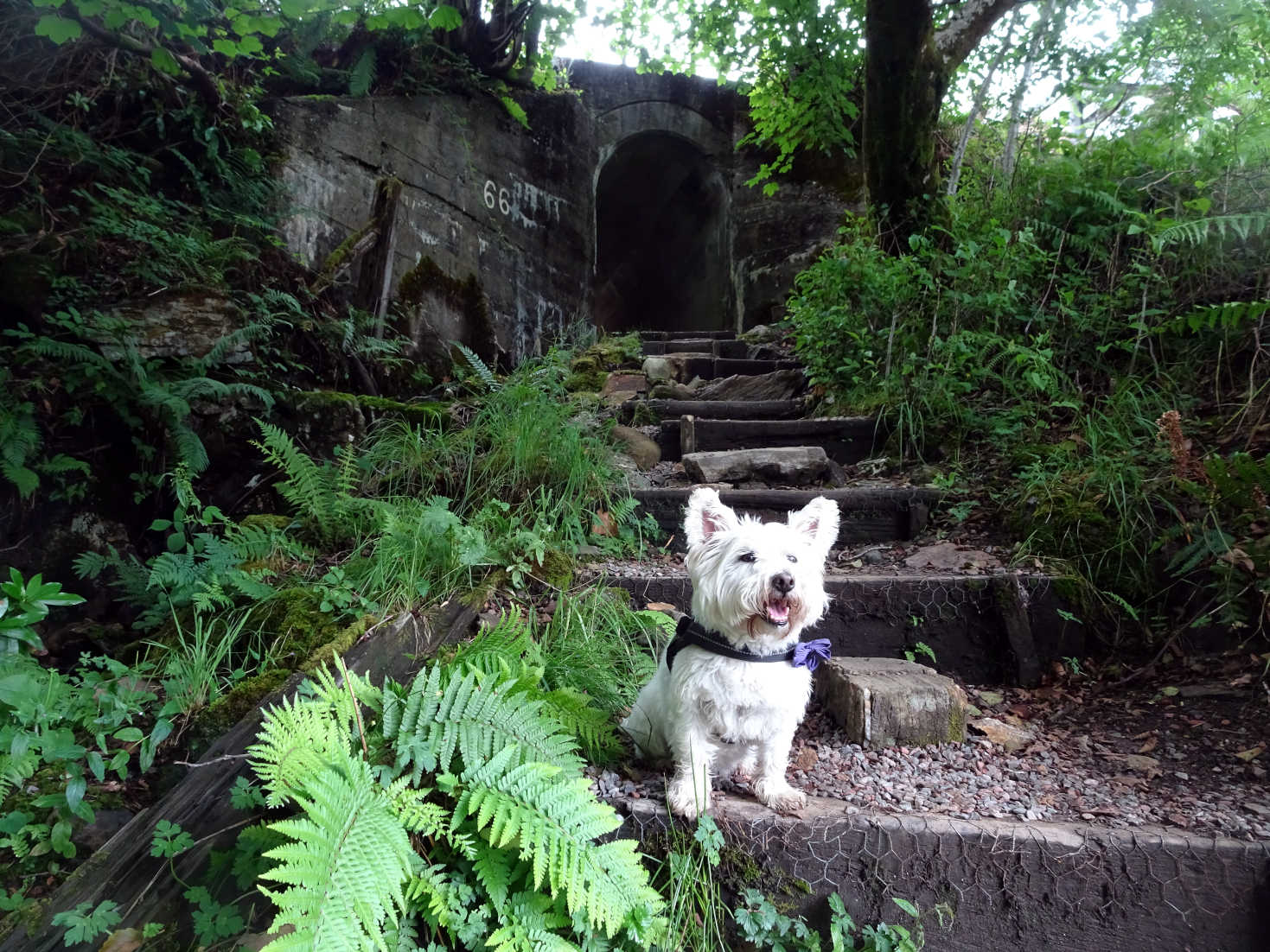 poppy the westie on the other side