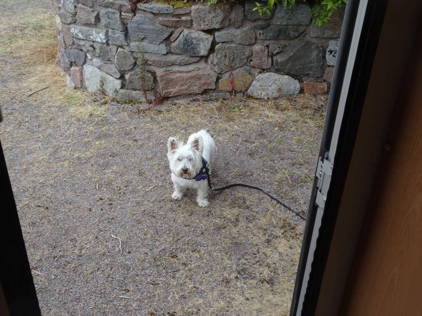 poppy the westie outside betsy at glen coe