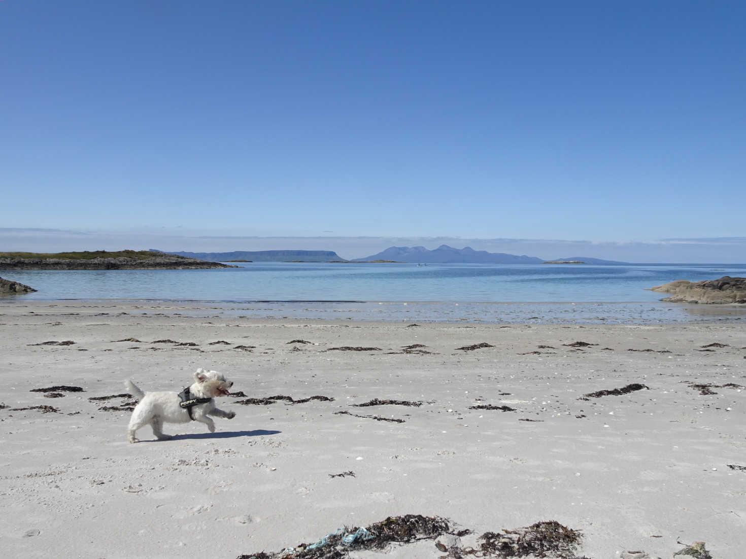 poppy the westie running on traigh beach