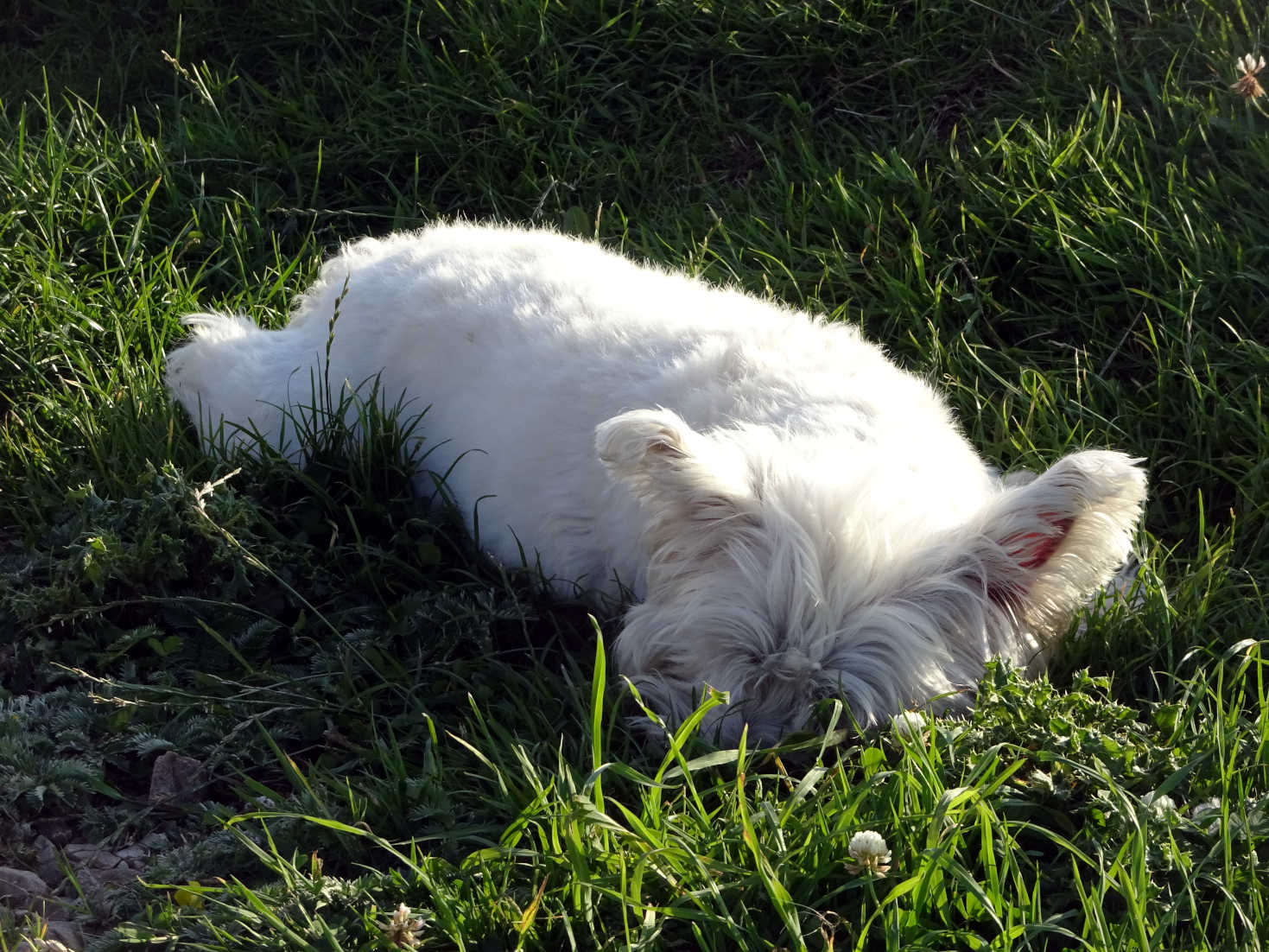 poppy the westie zonked at silversands
