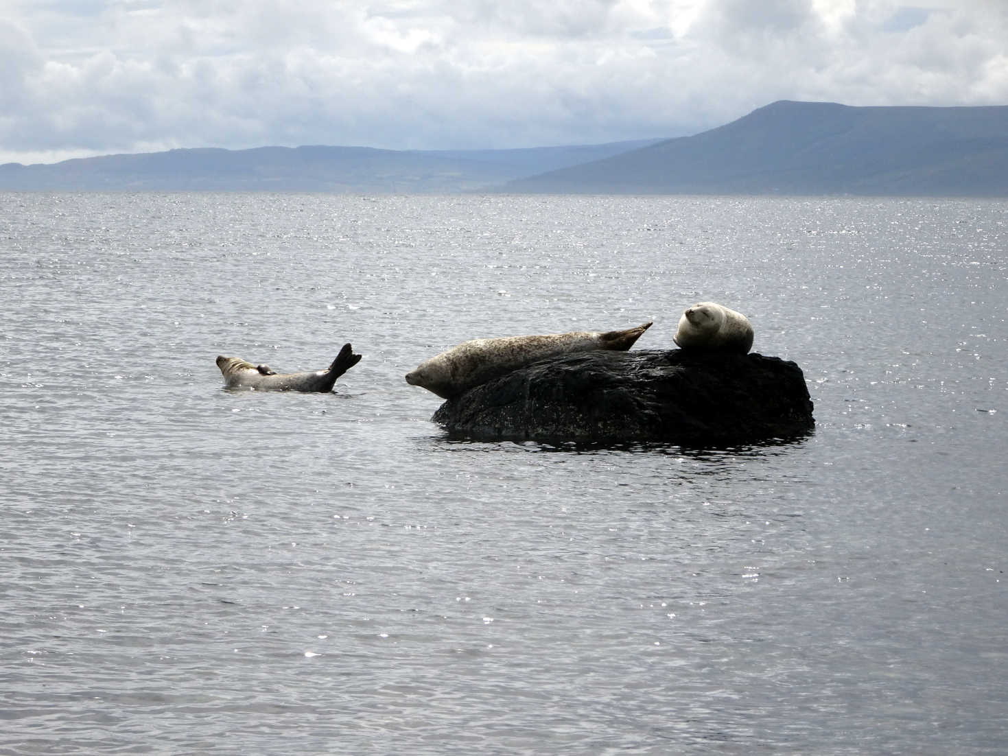sealmonsters at scalpsie bay