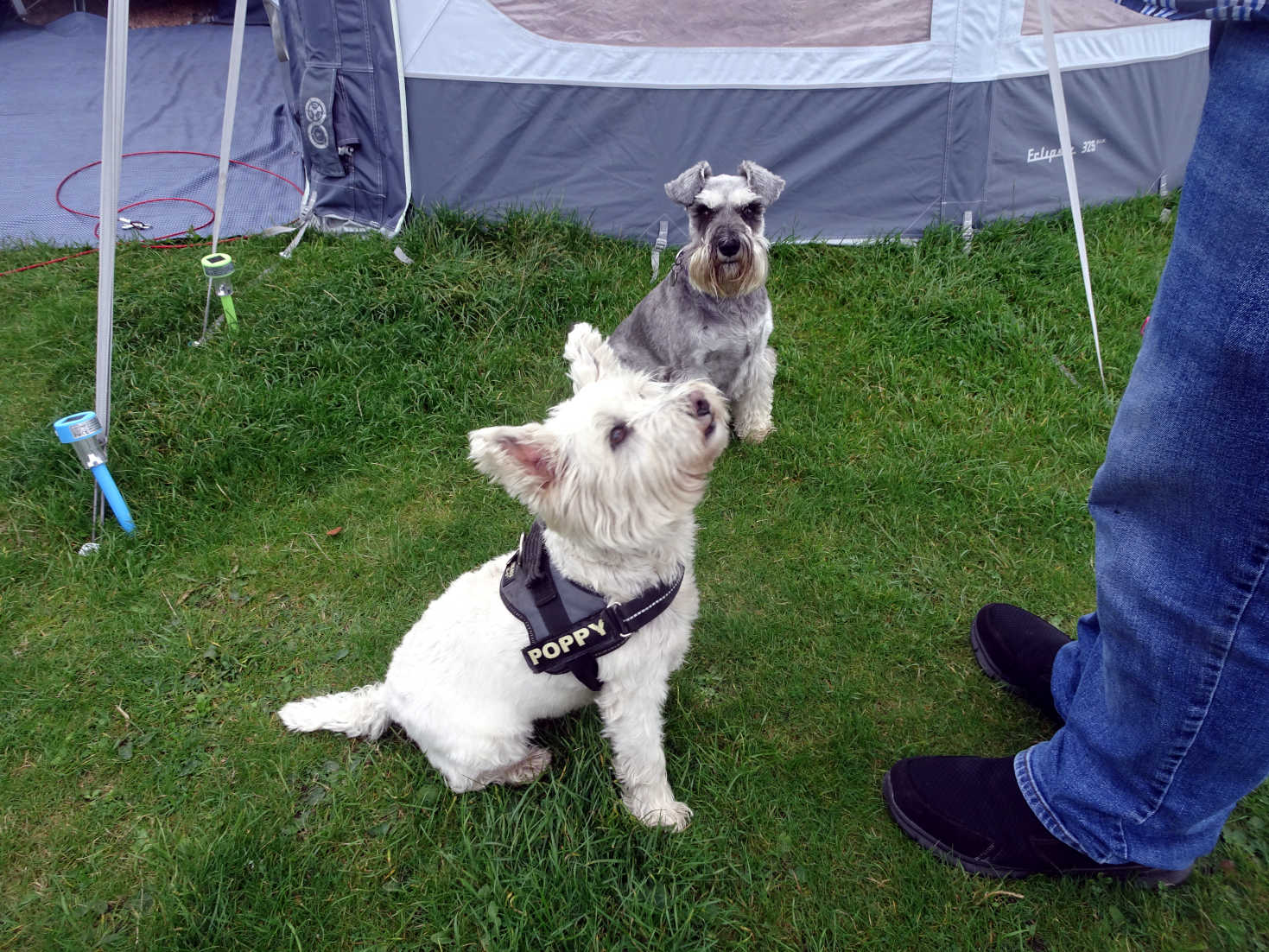poppy the westie and Trudy at shell bay caravan park
