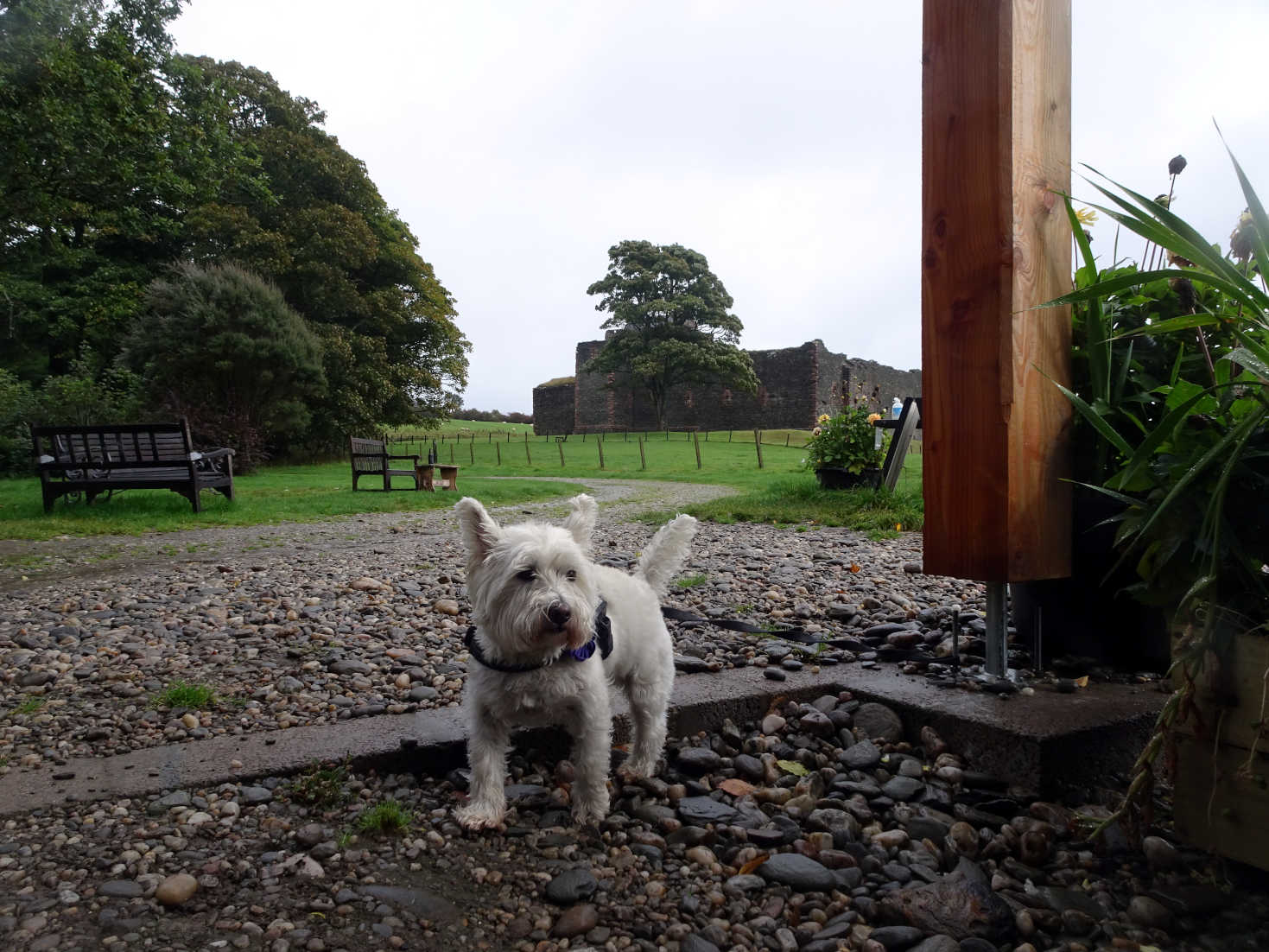poppy the westie at the sea food shack skipness