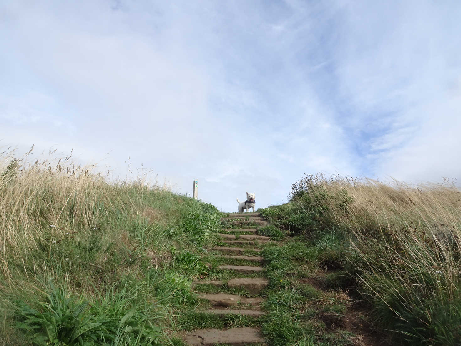 poppy the westie climbs the steps on the costal path to Elie