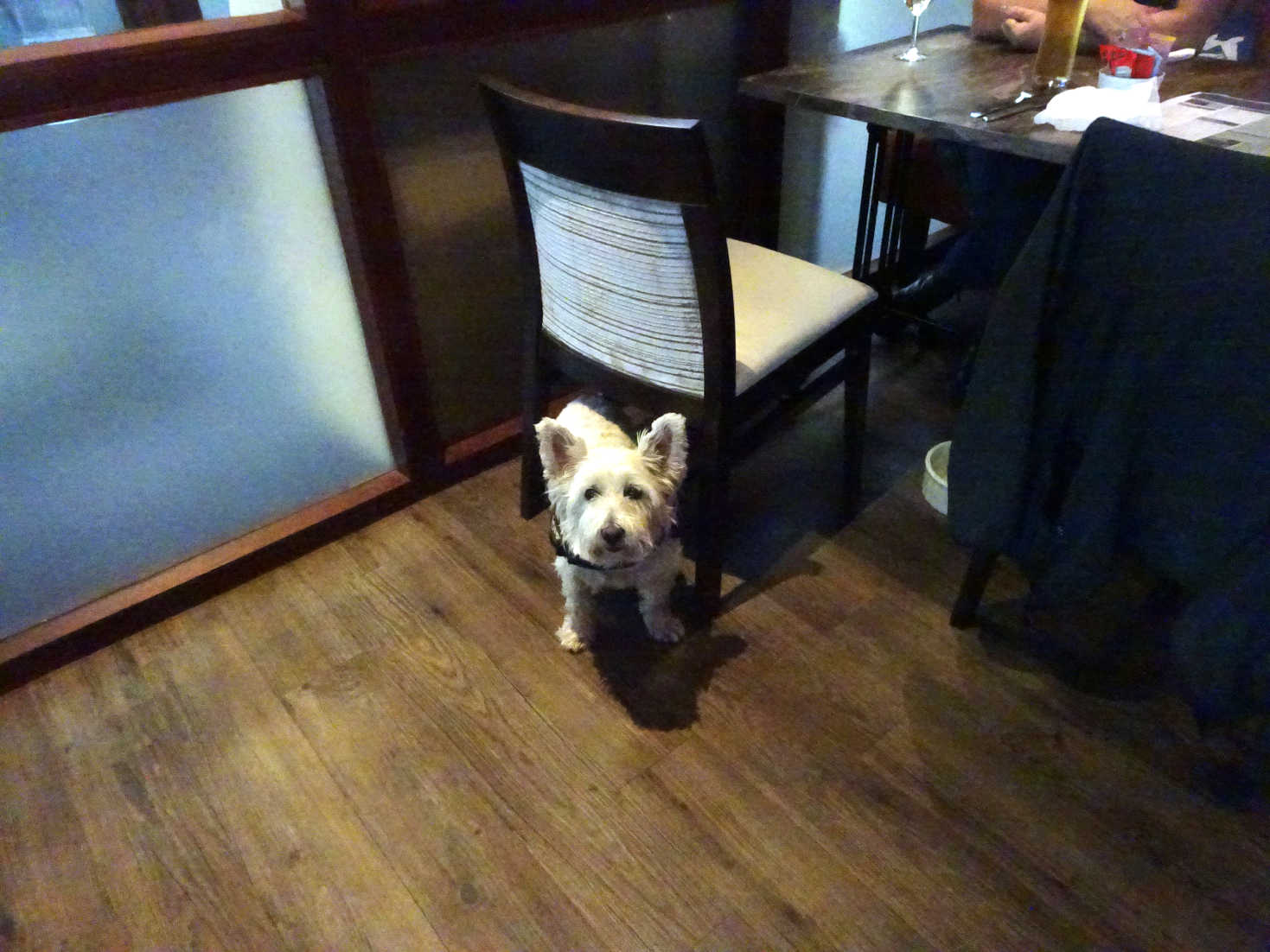poppy the westie in Kincraig view Elie Holiday park