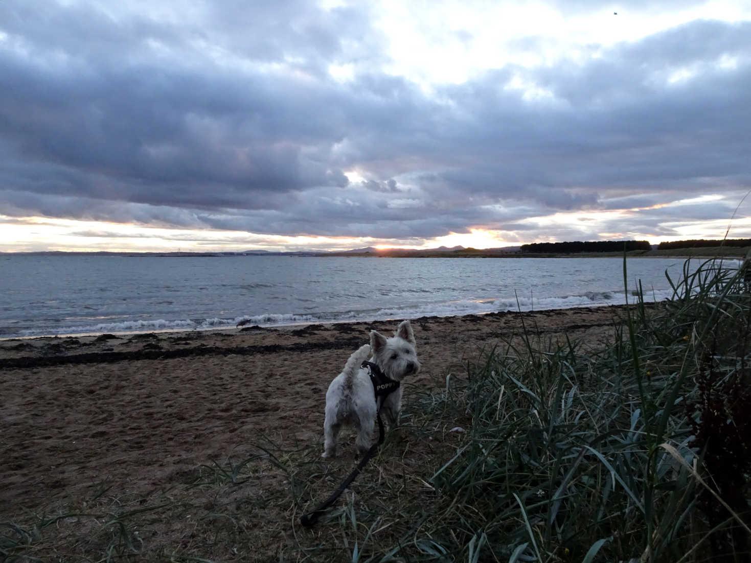 poppy the westie in shell bay beach at dusk