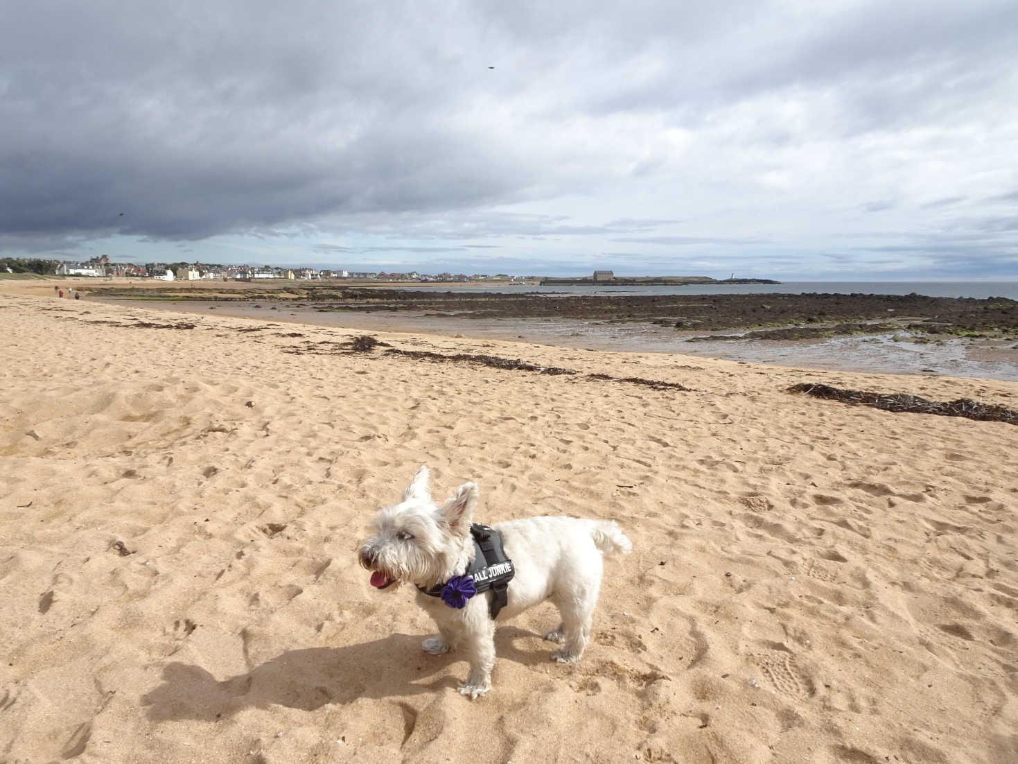 poppy the westie on Elie beach