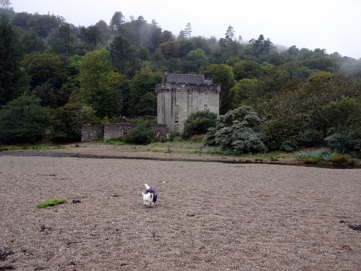 poppy the westie on beach at saddel castle