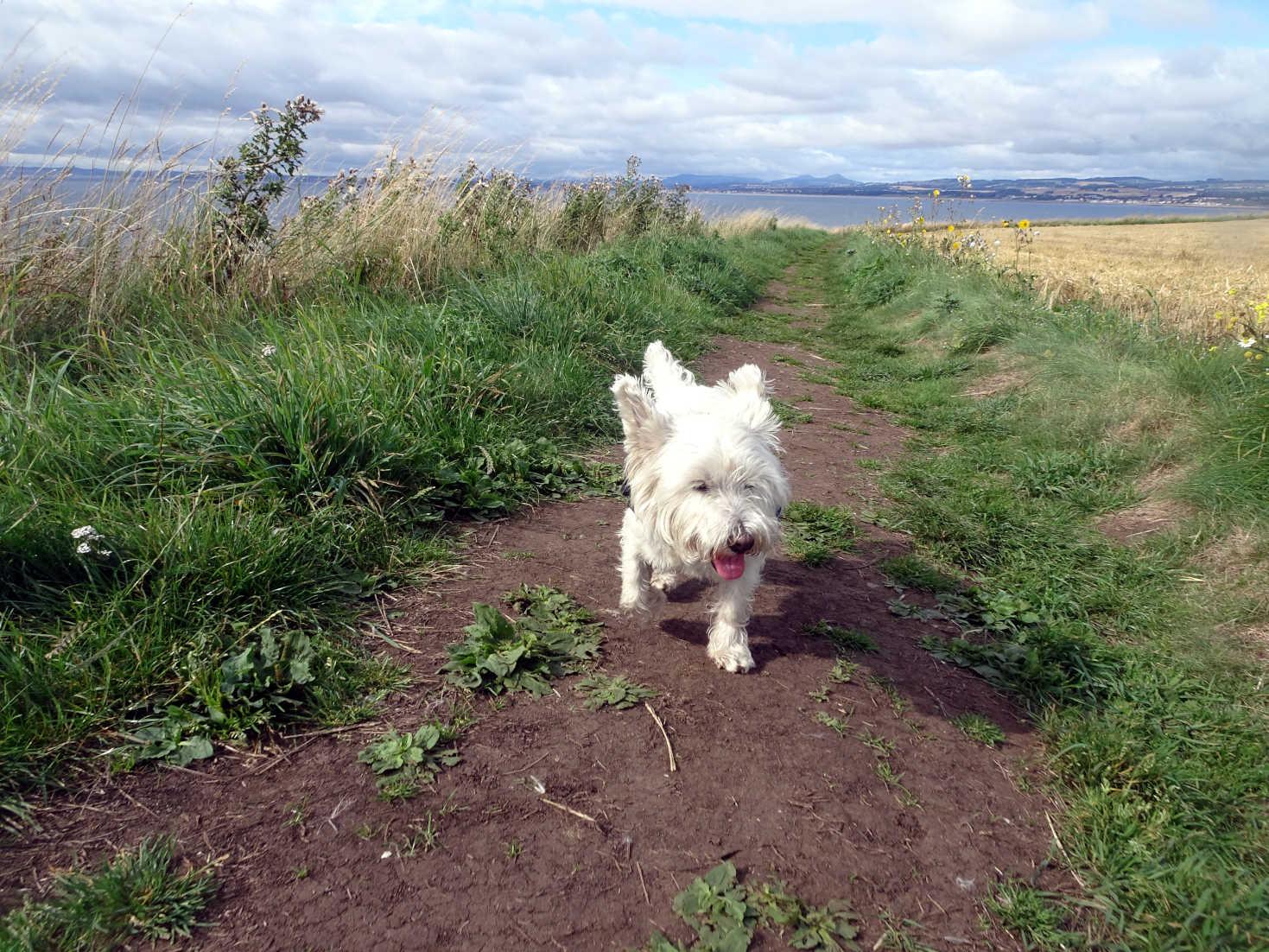 poppy the westie on clifftop path to Elie