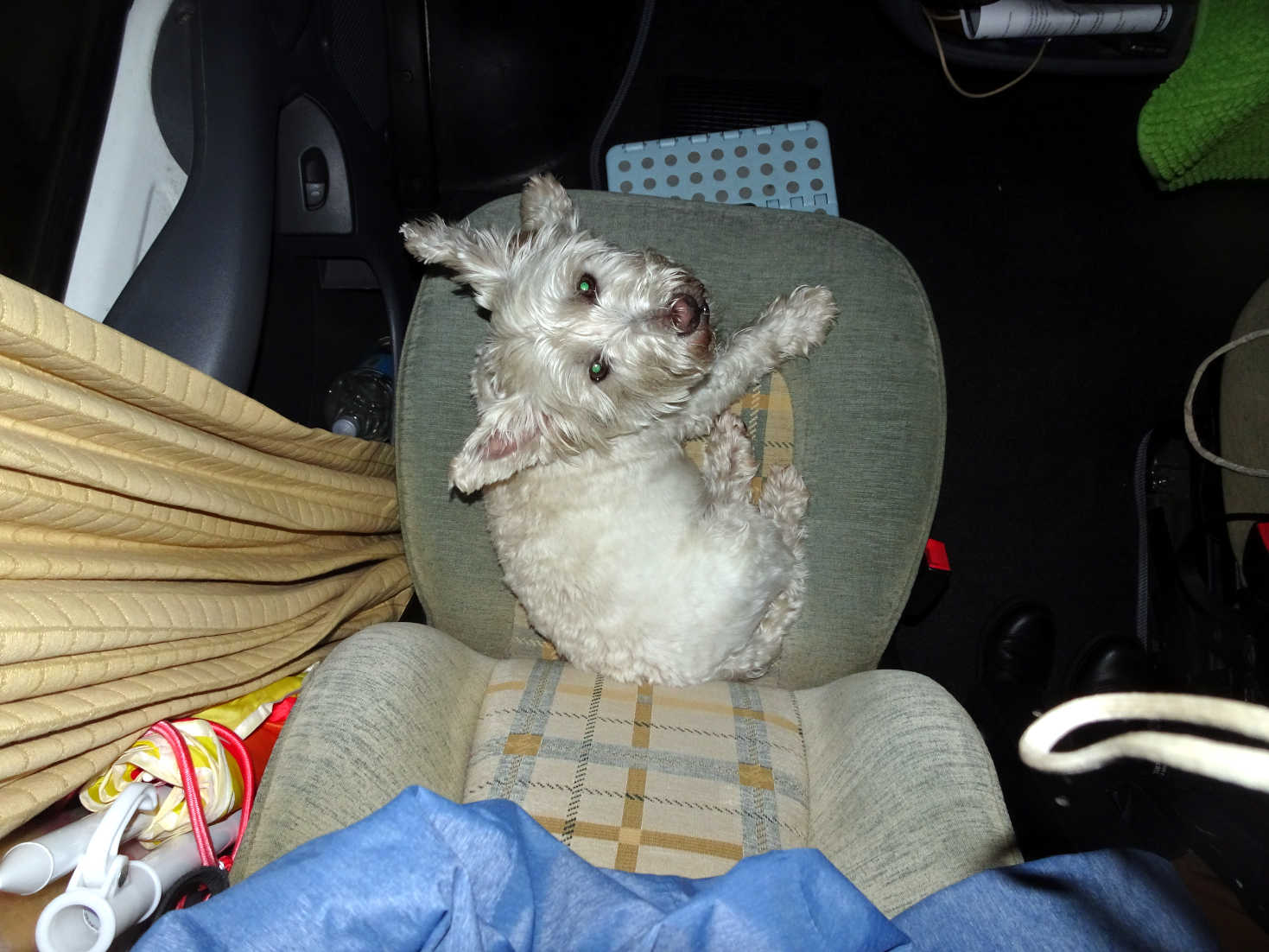 poppy the westie on her seat in betsy
