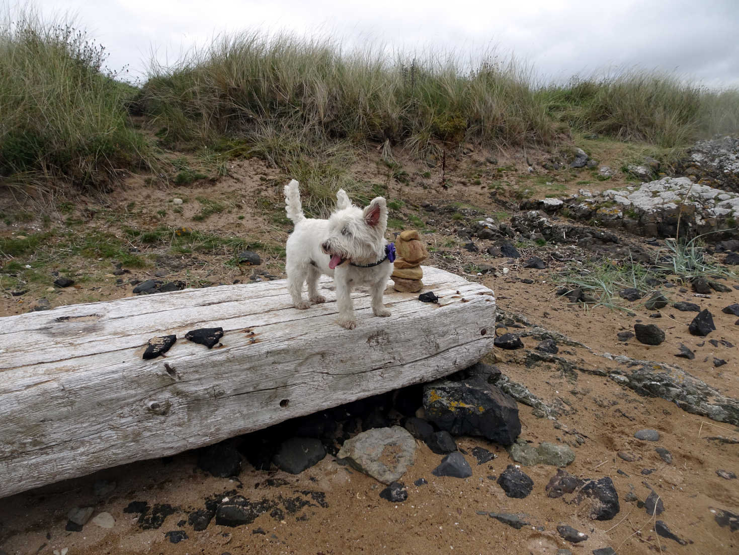 poppy the westie on log at shell beach