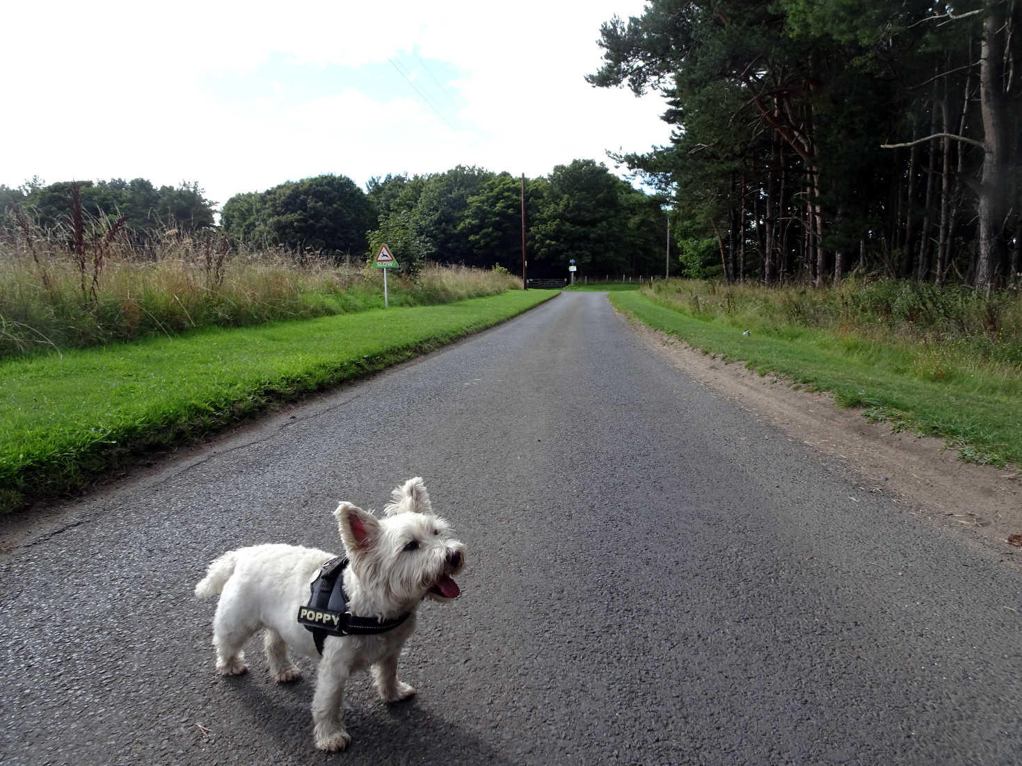 poppy the westie on road to Shell Bay Camp