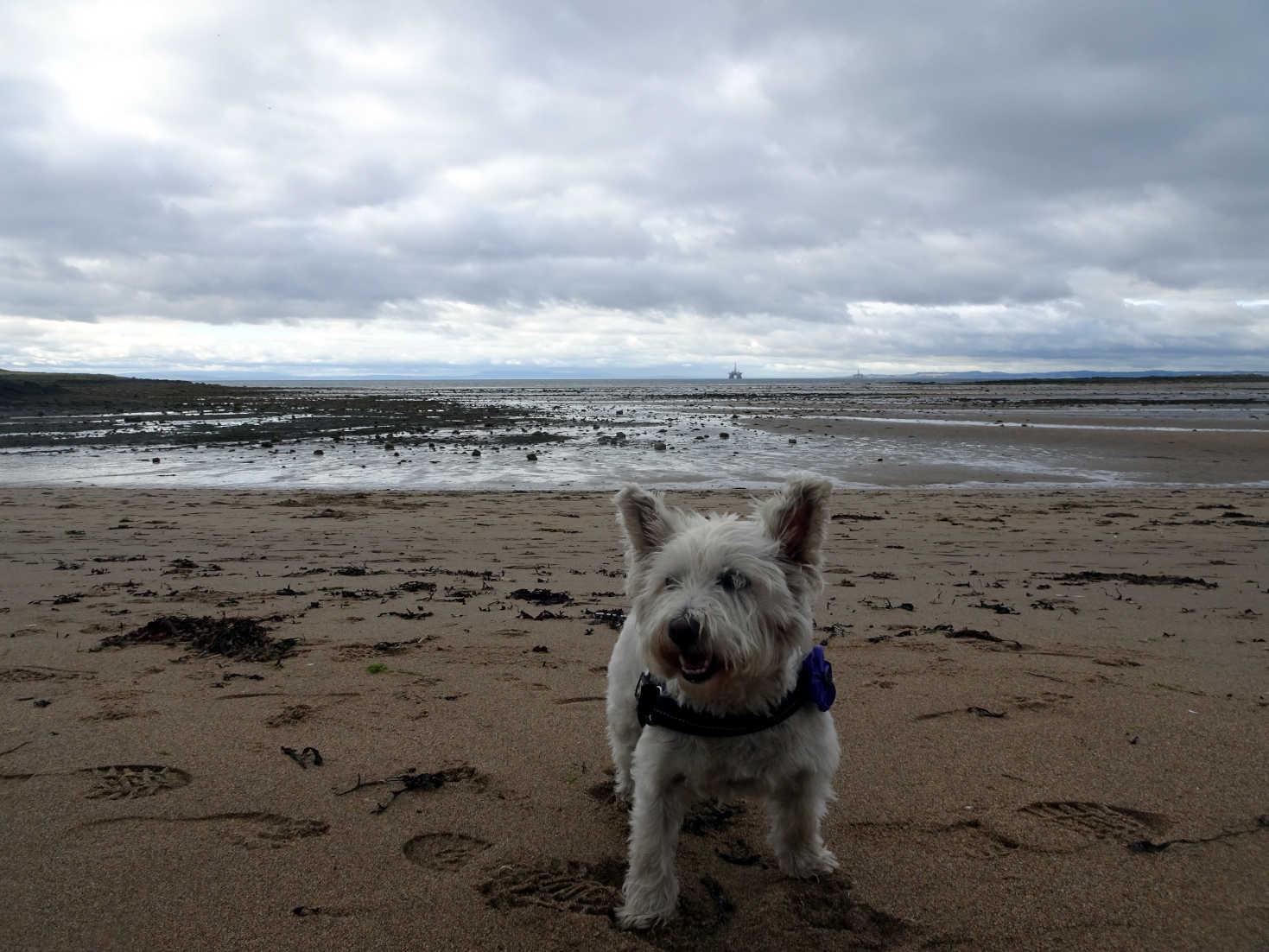 poppy the westie on shell beach