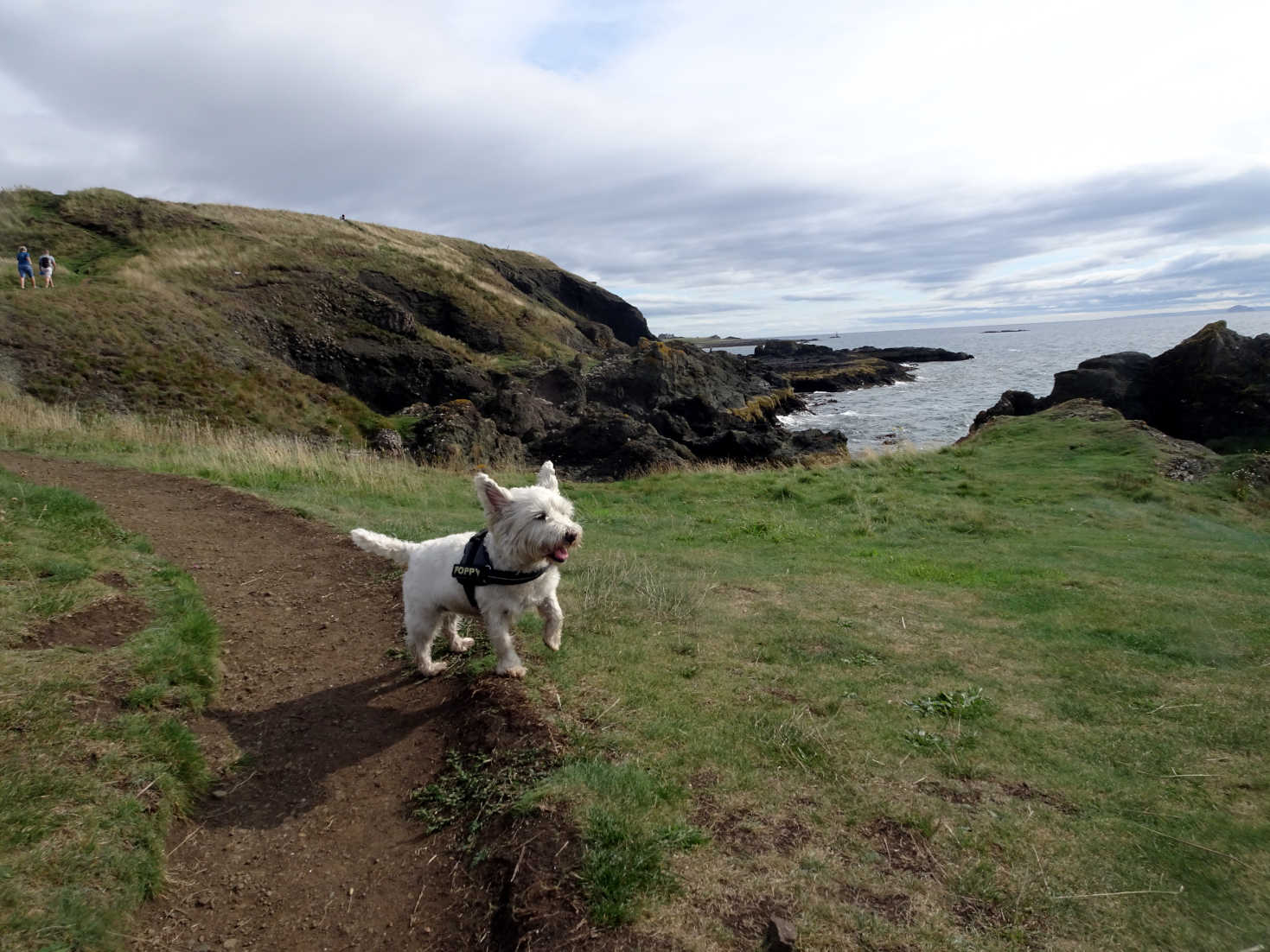 poppy the westie on the right path