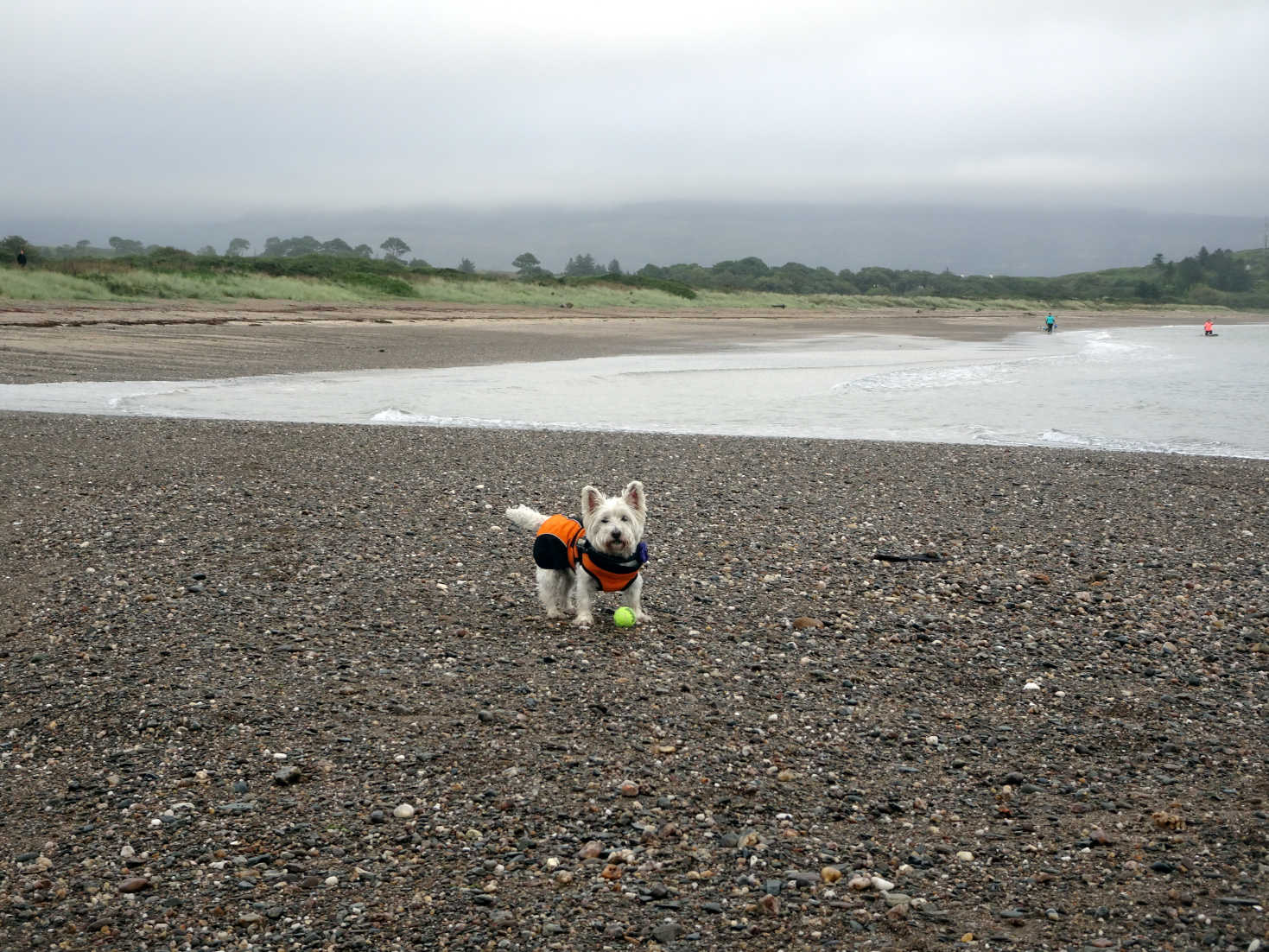 poppy the westie playing ball on carradale bay