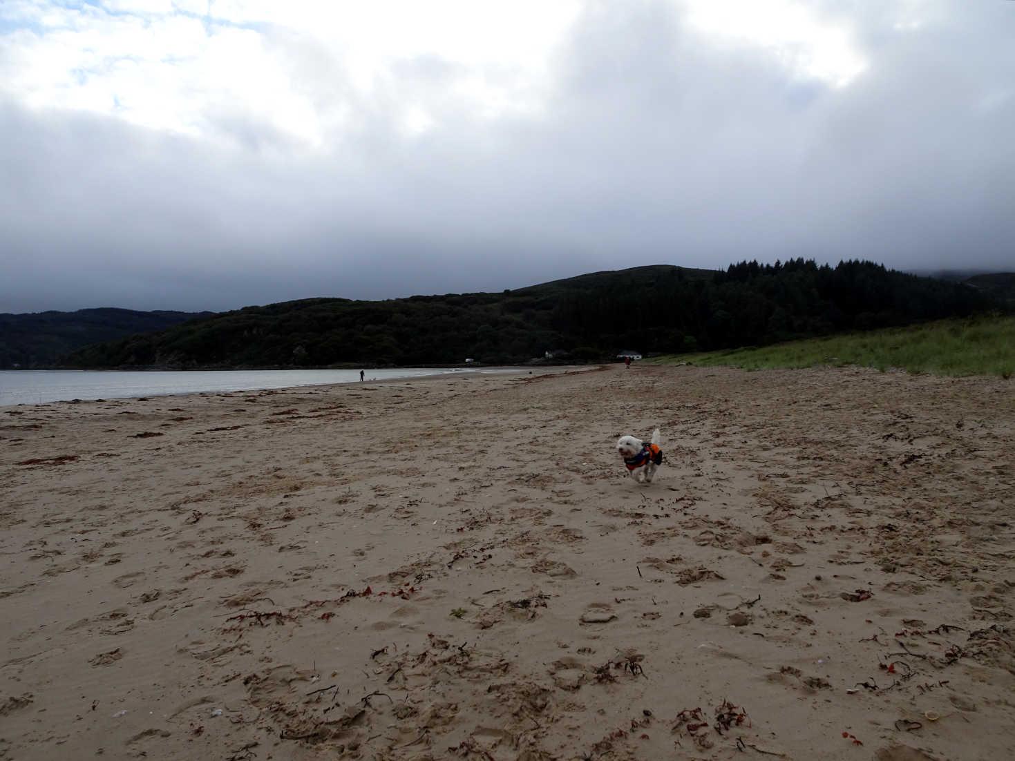 poppy the westie running on carradale beach