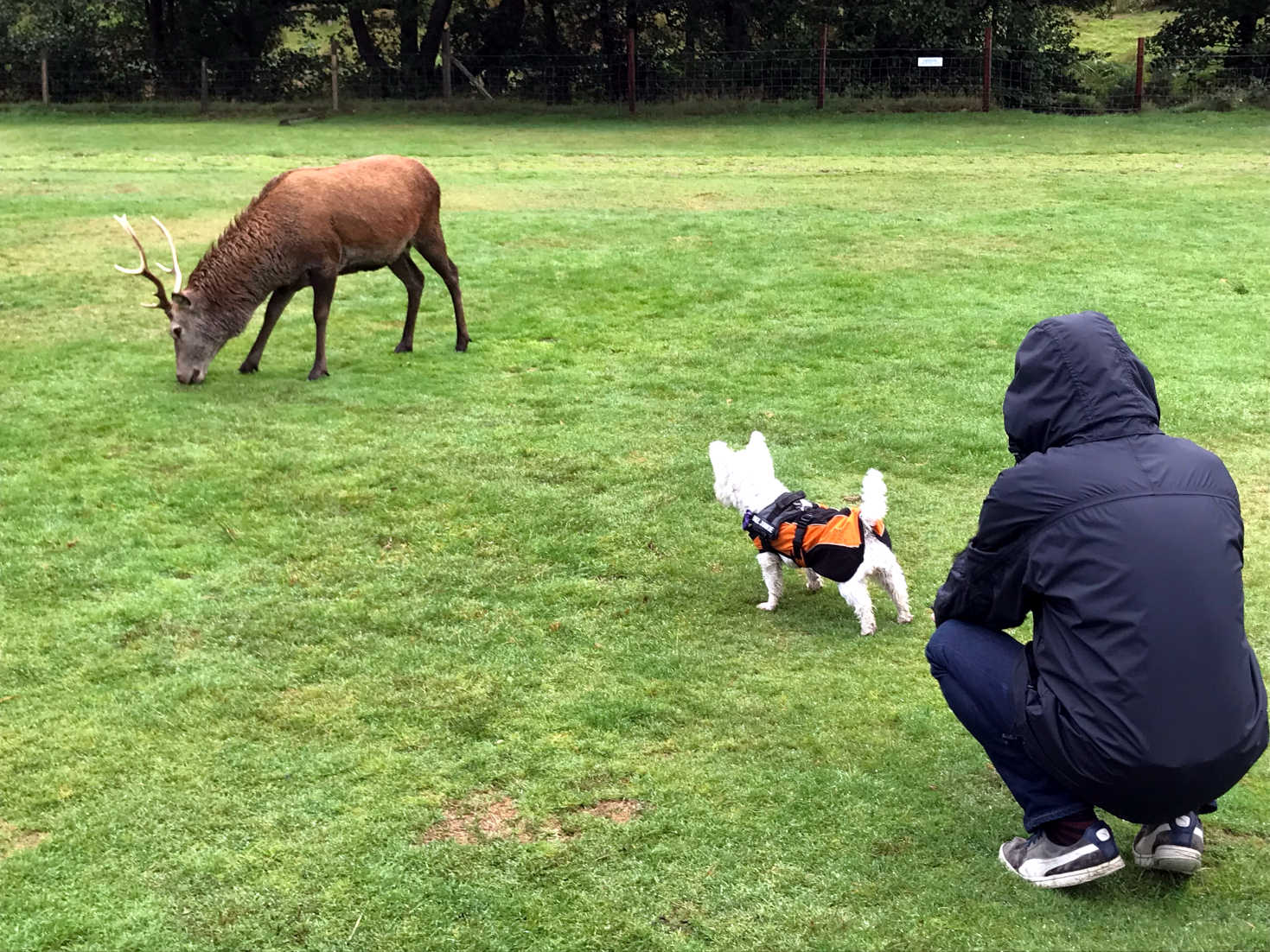 poppy the westie squares up to a red deer