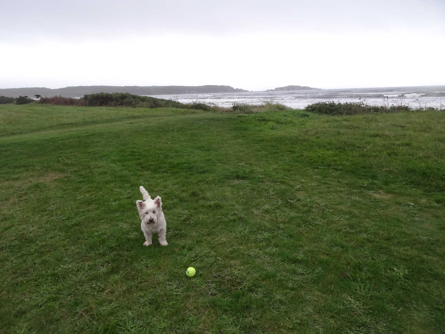 poppy the westie with ball in camp carradale