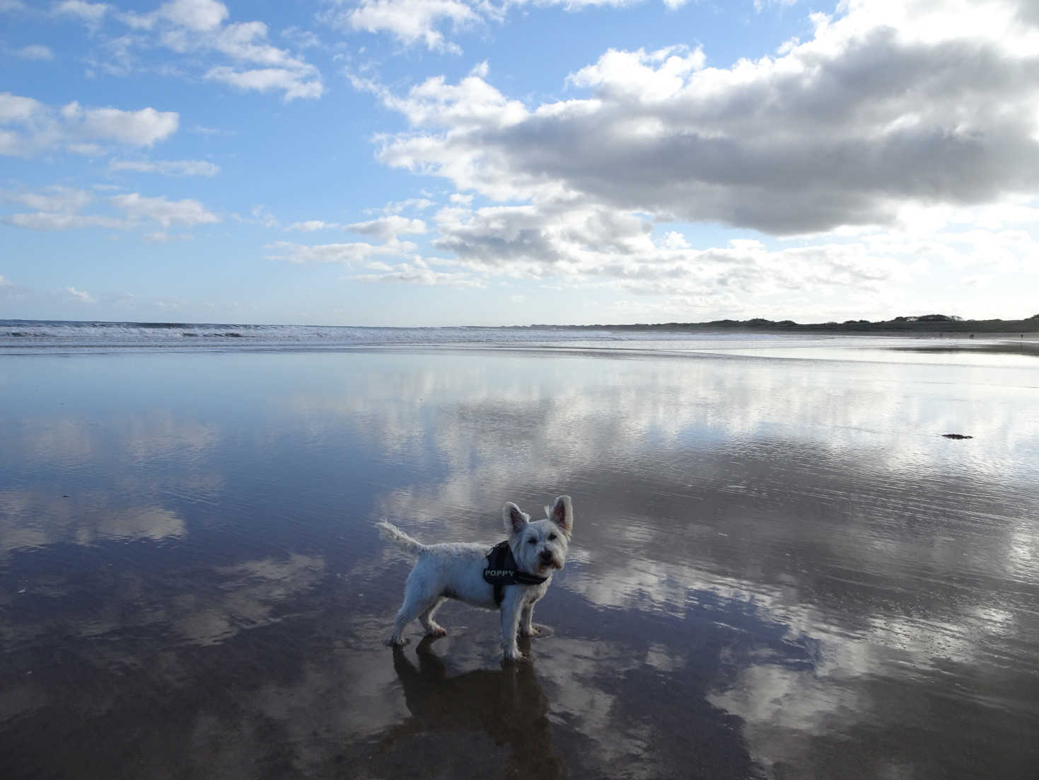 poppy at mouth of annstead burn seahouses