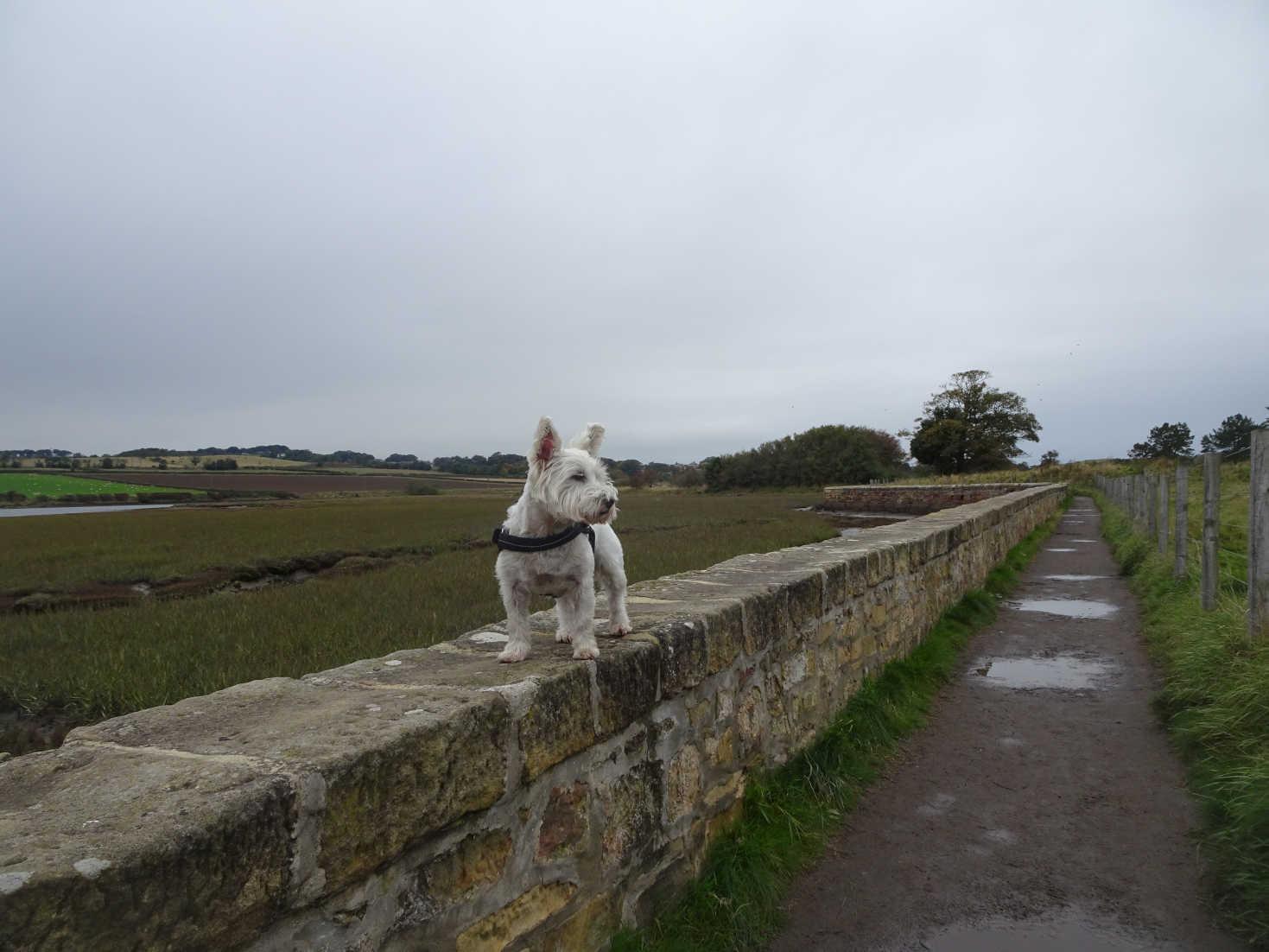 poppy on wall at alnmouth