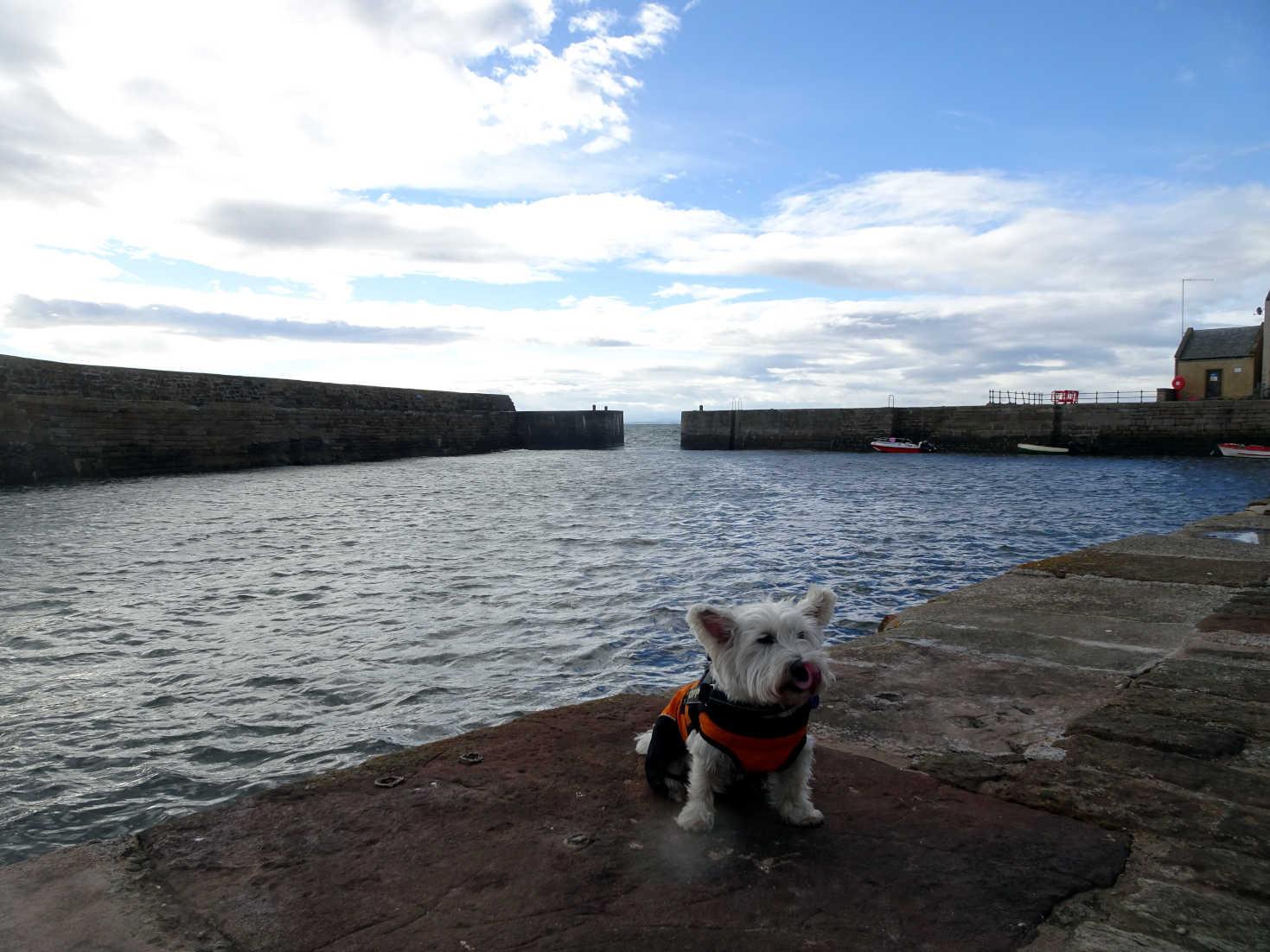 poppy the westie at cellardyke harbour